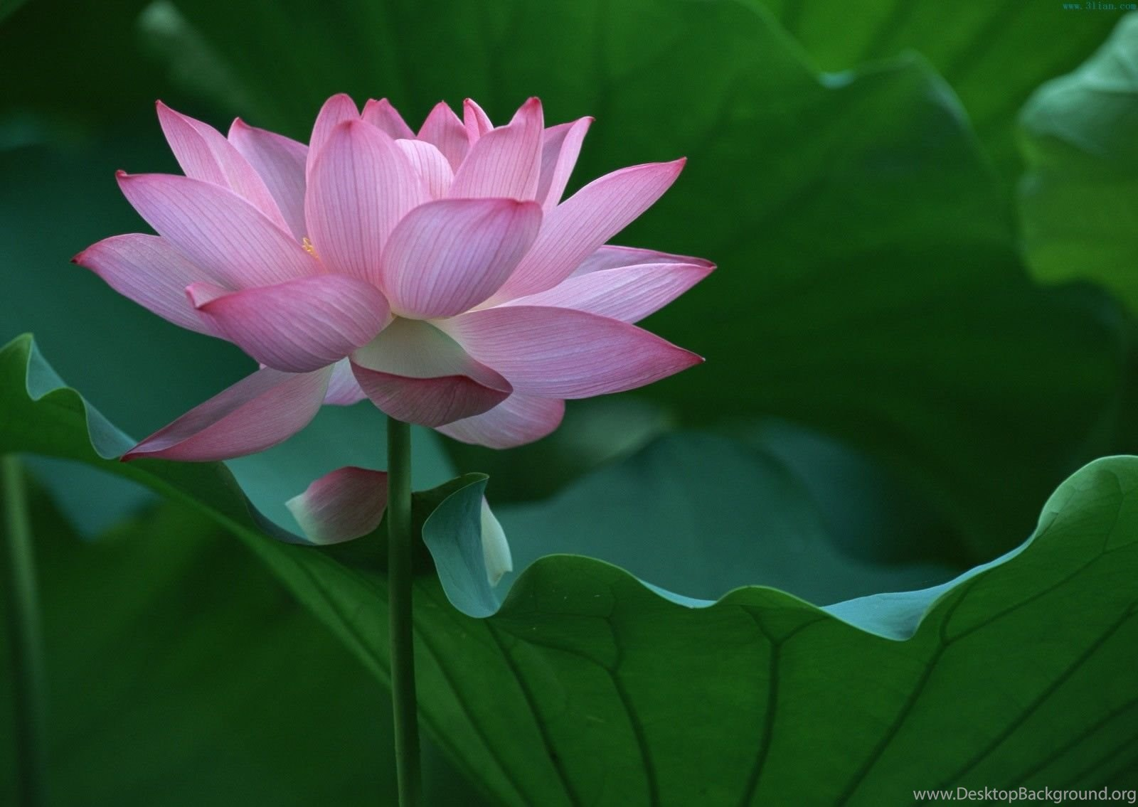Pictures Of A Lotus Flower Hd Wallpapers Pretty Desktop Background