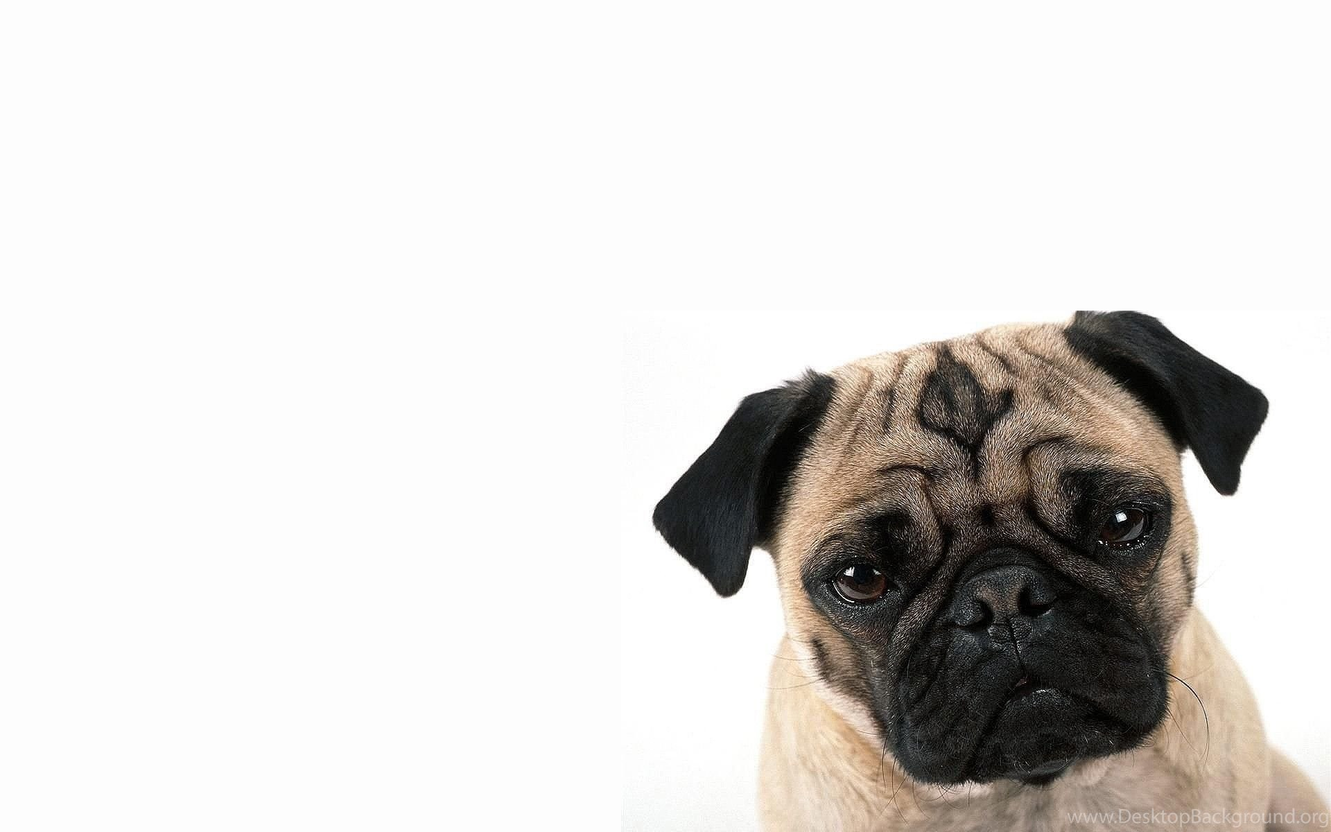 Pug Iphone Wallpaper: Pug Cute Dog Wallpapers Desktop Background