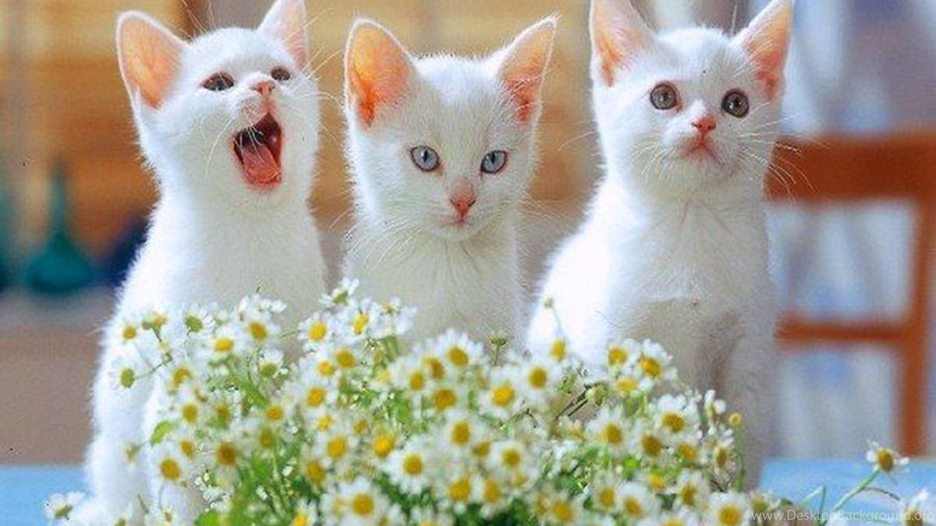 Cute White Kittens Wallpapers Wallpapers
