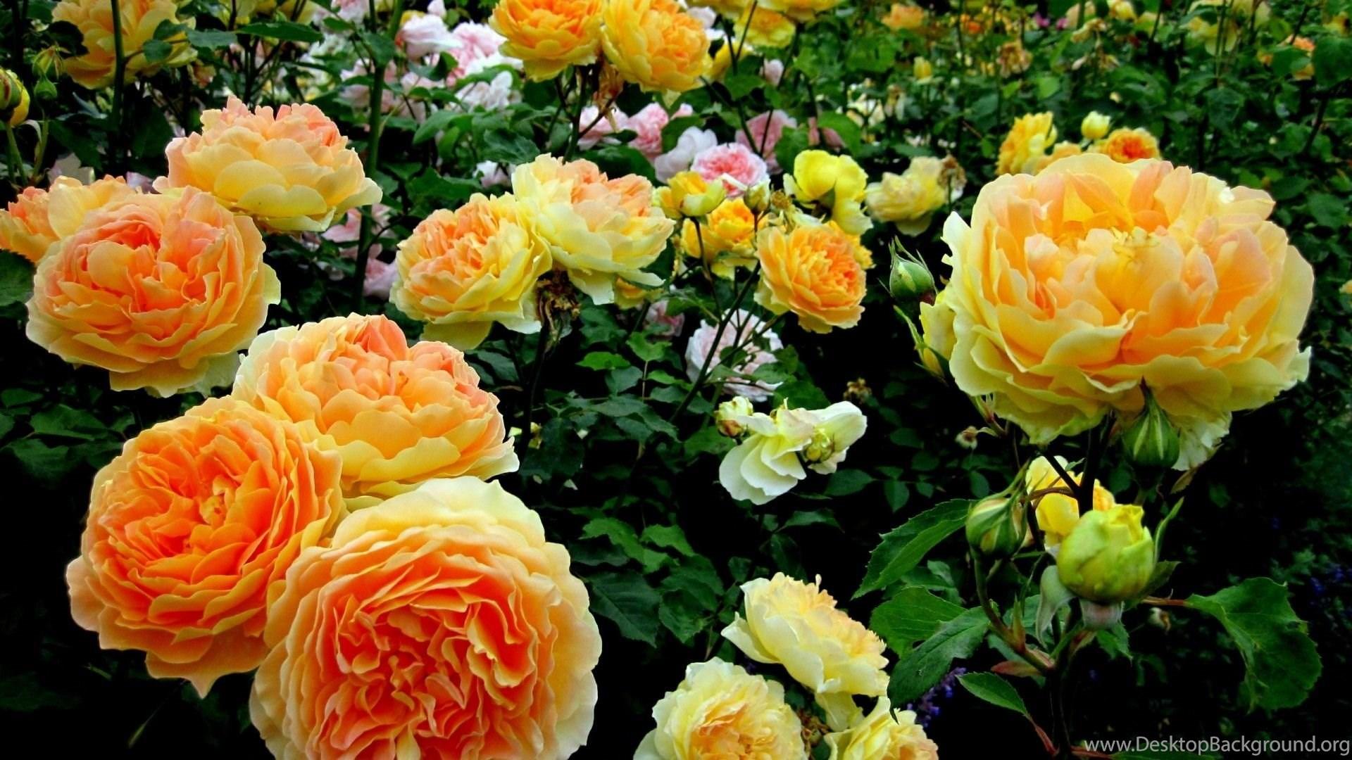 Beautiful Yellow Roses HD Wallpapers Free Downloads Desktop Background