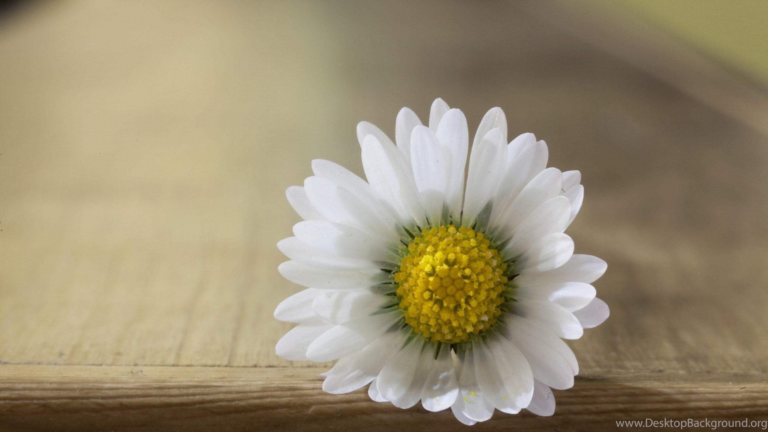 Close Up White Daisy Flower With White Petals Yellow Pistil Desktop
