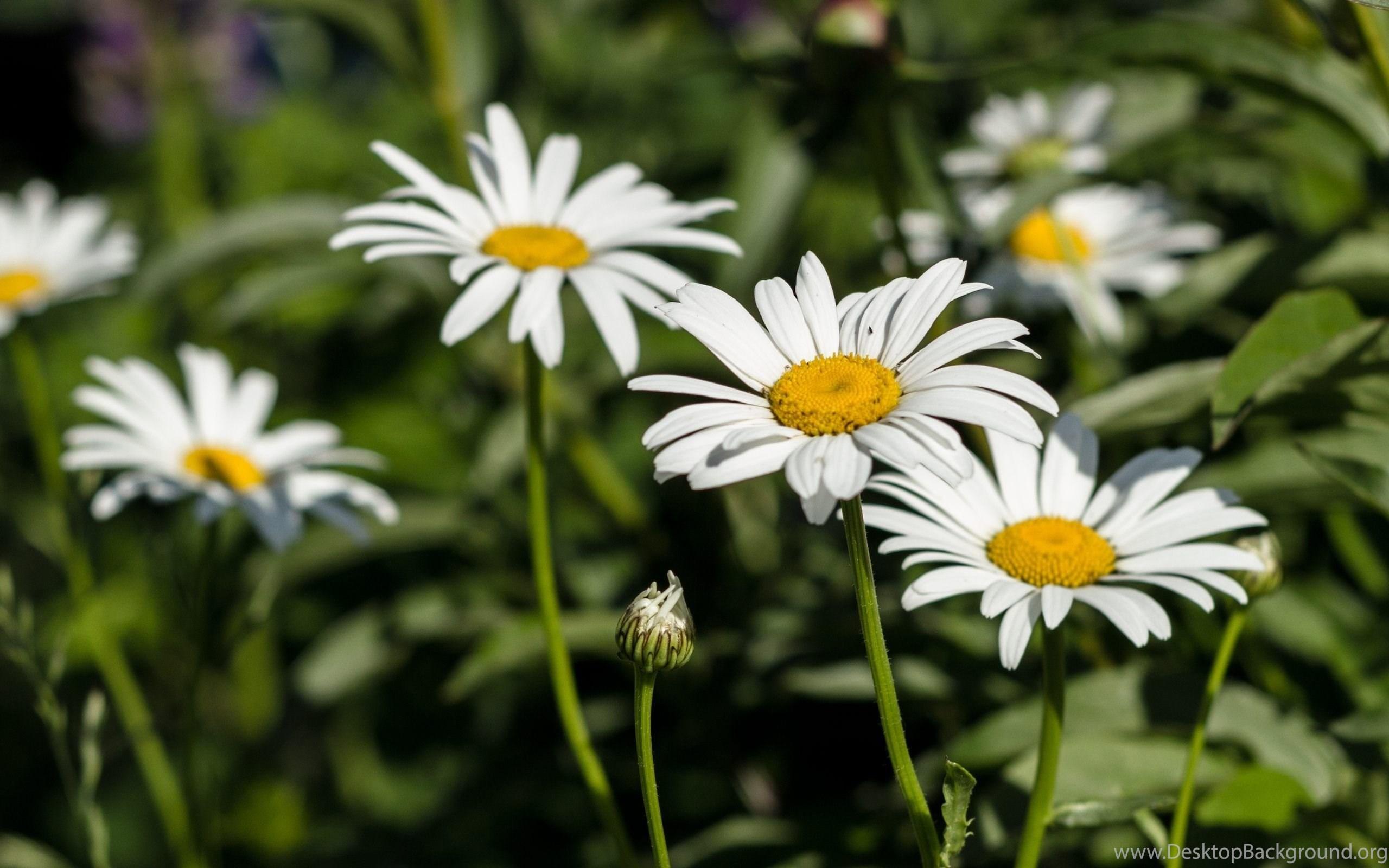 Daisies Flowers Wallpapers Hd Of Beautiful White Flowers Desktop