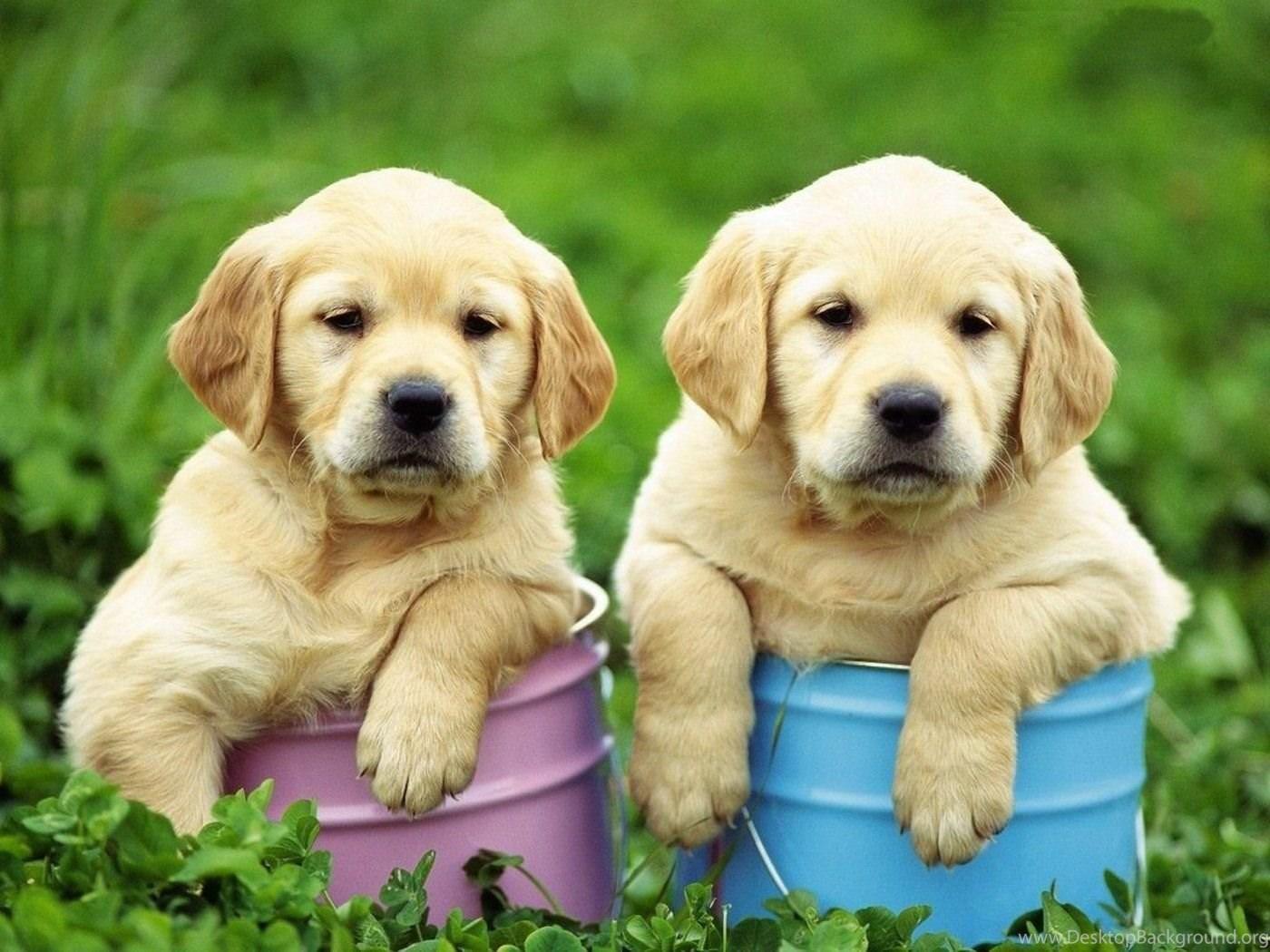 Cute Golden Retriever Puppies Sleeping Wallpaper Desktop Background