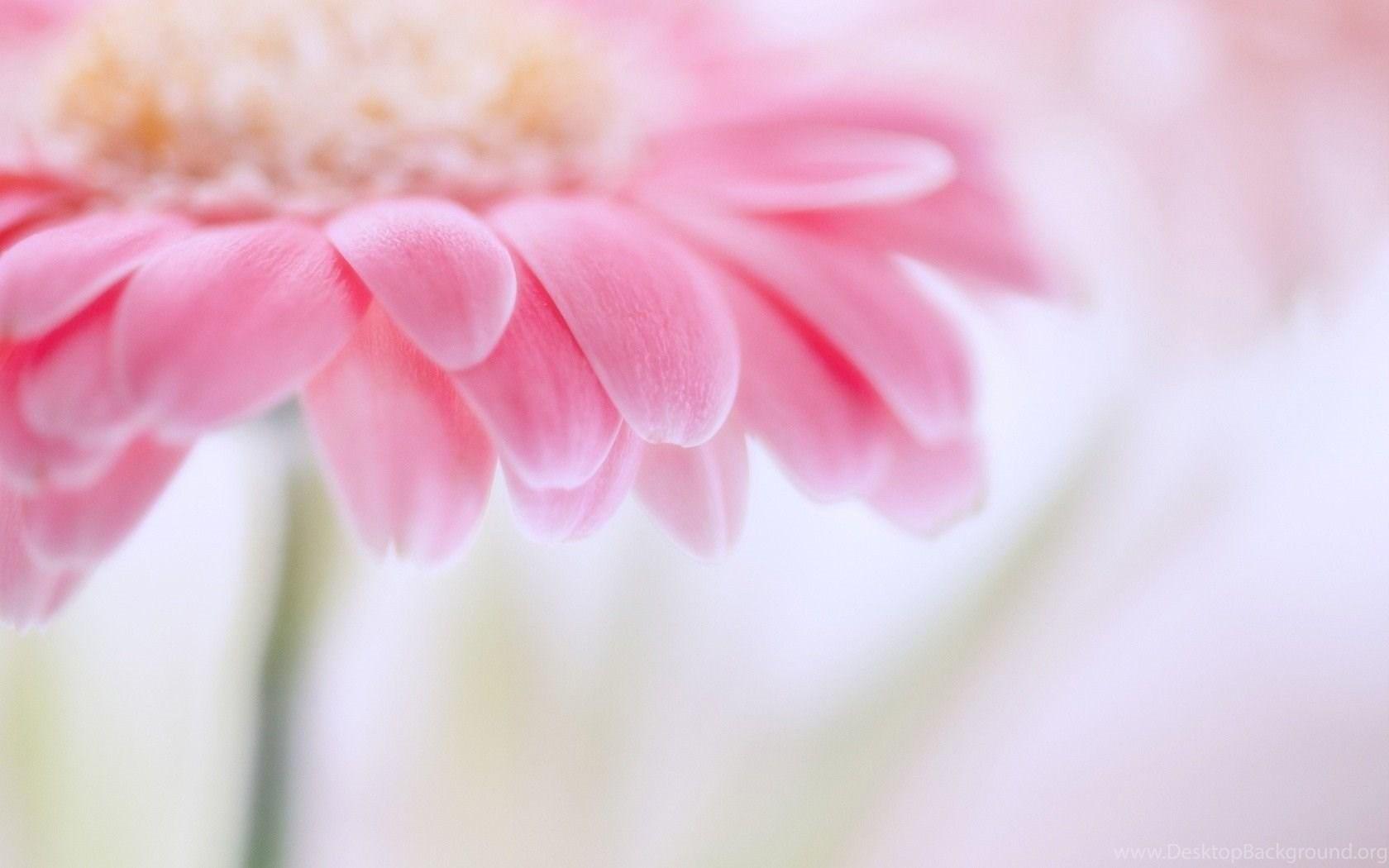 1680x1050px light pink flower wallpapers desktop background widescreen mightylinksfo