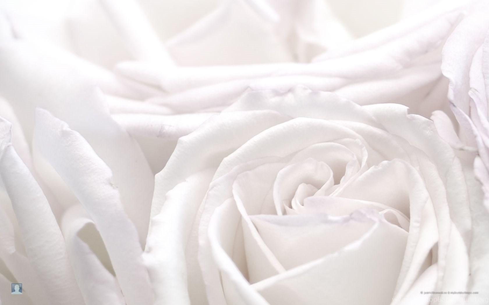 White Rose Wallpapers HD Pretty Desktop Background