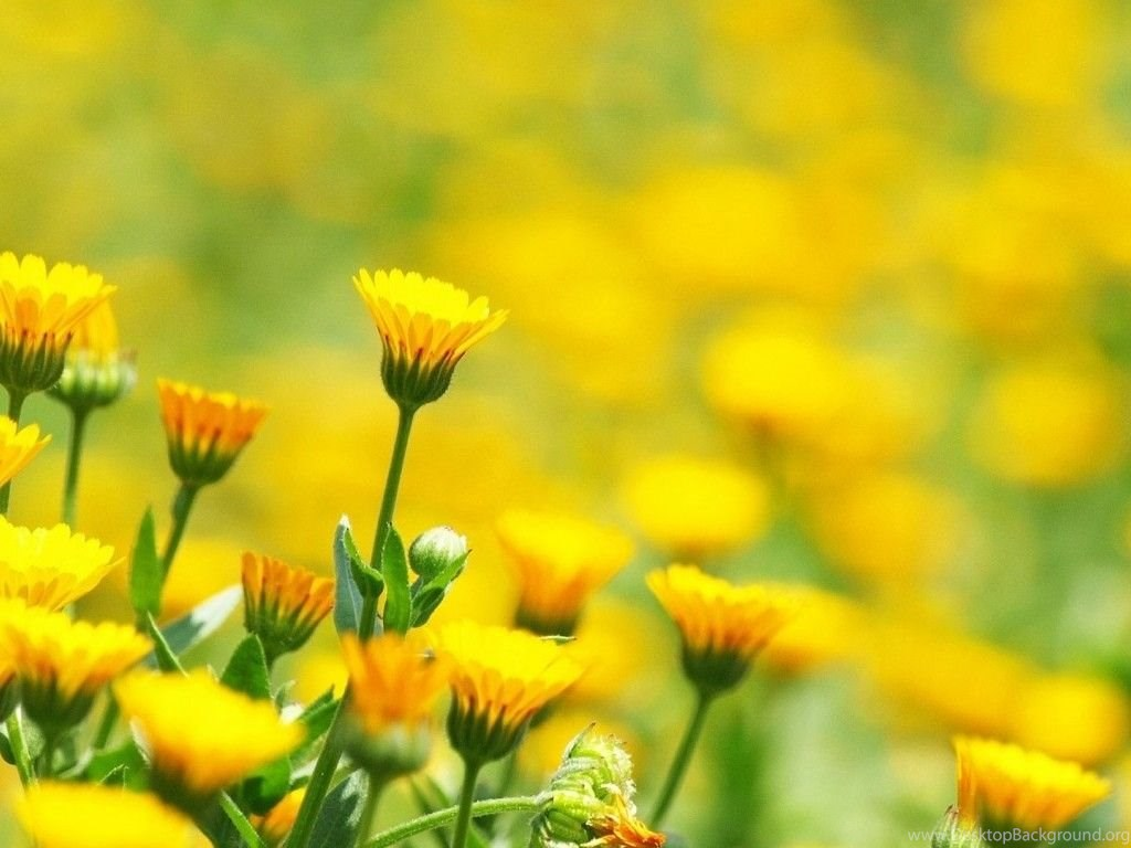Yellow Flowers In Field Wallpapers Free Download 1024x768g
