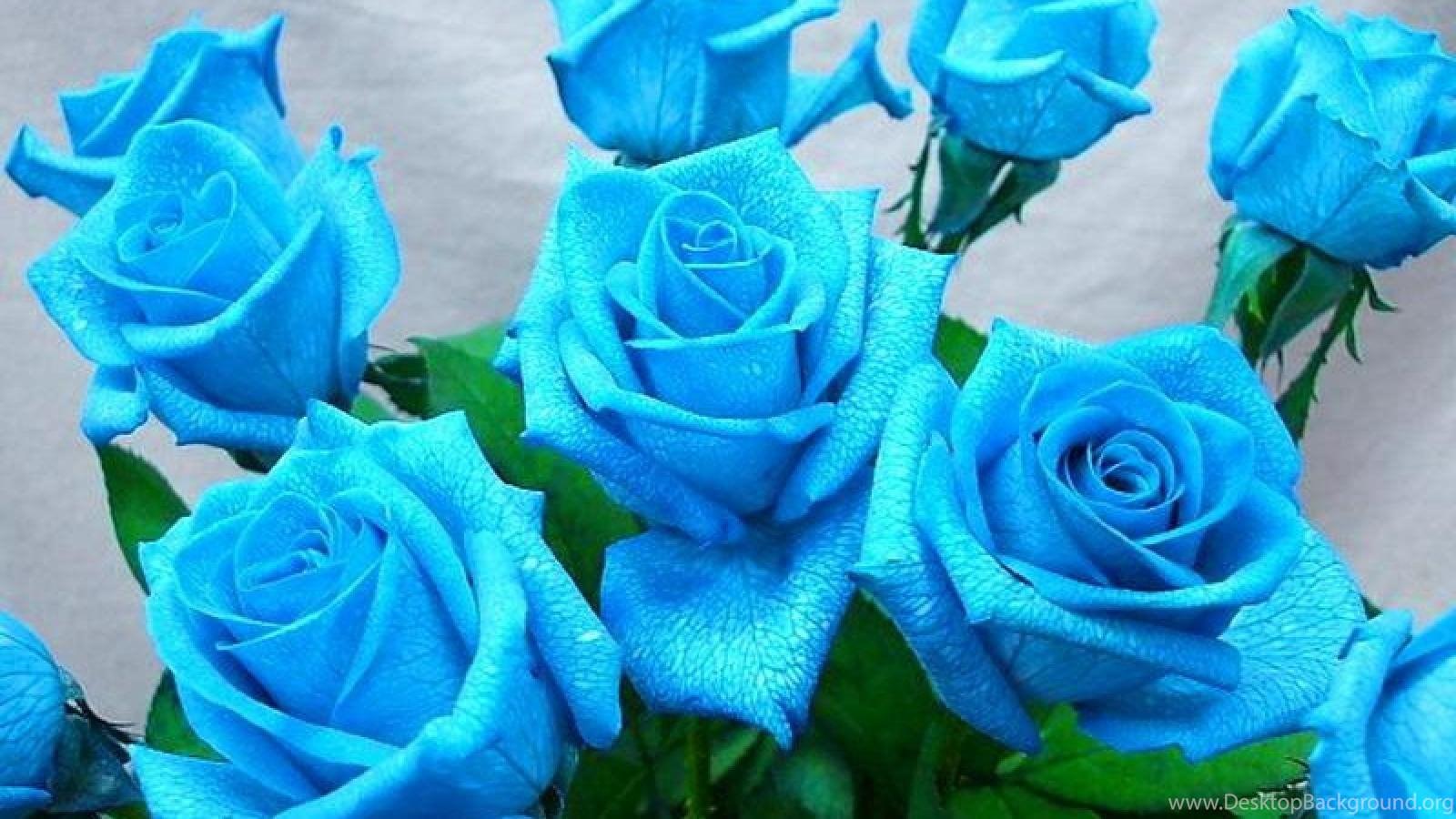 Blue Roses Wallpapers Desktop Background