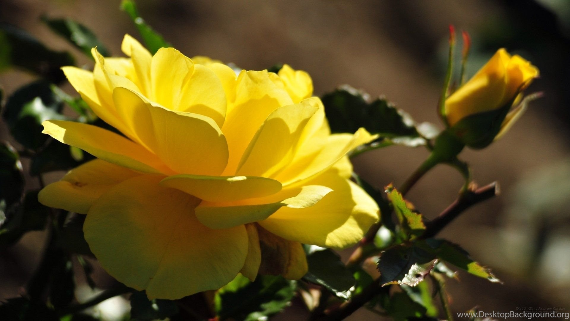 Beautiful Yellow Rose Blossom Wallpapers And Images Wallpapers