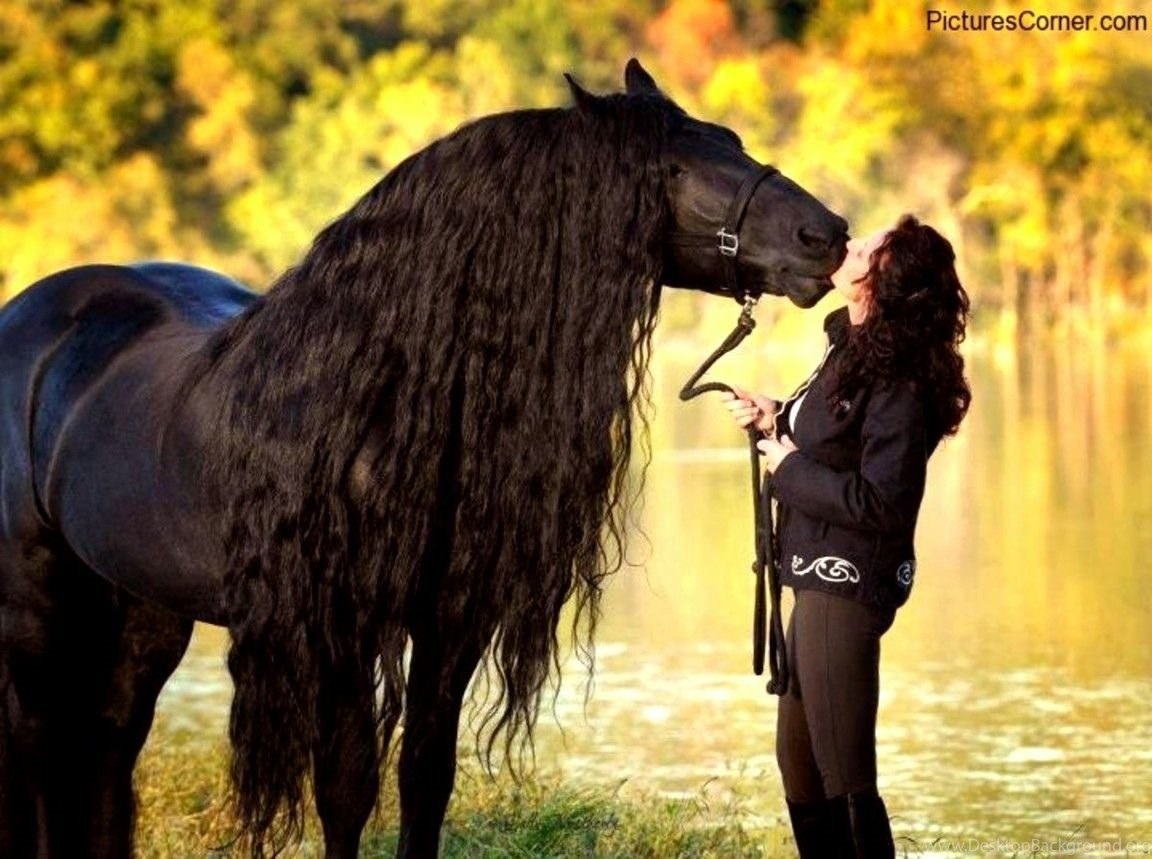 Horses Sweet Friendship Friesian Horses Holland Draft Horse Black Desktop Background