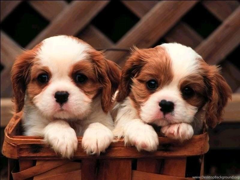 Cute Dog Hd Wallpapers Free Download Desktop Background