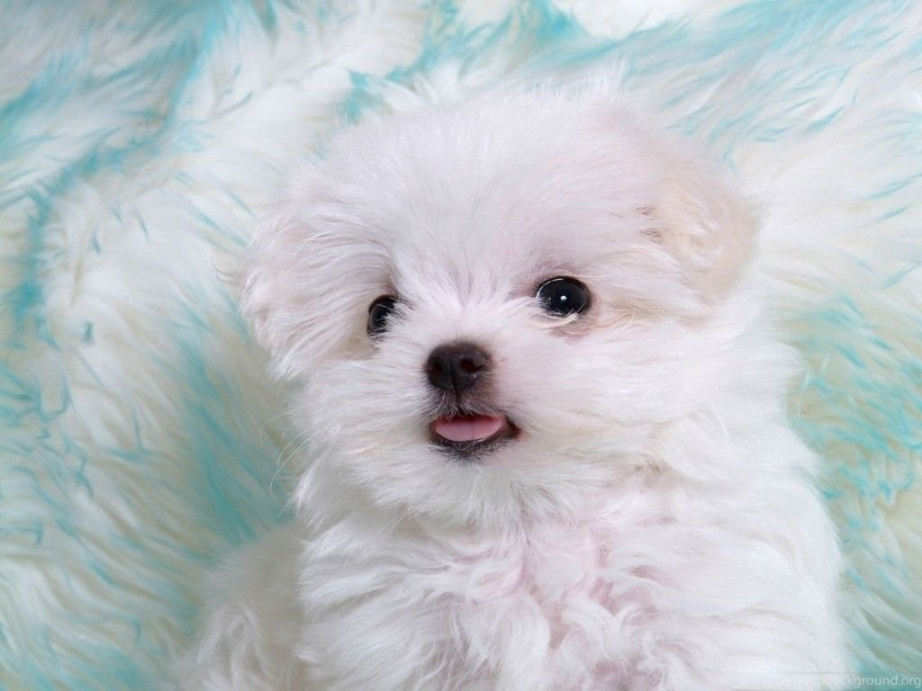 White Puppy Cute Baby Dog Wallpapers Desktop Background