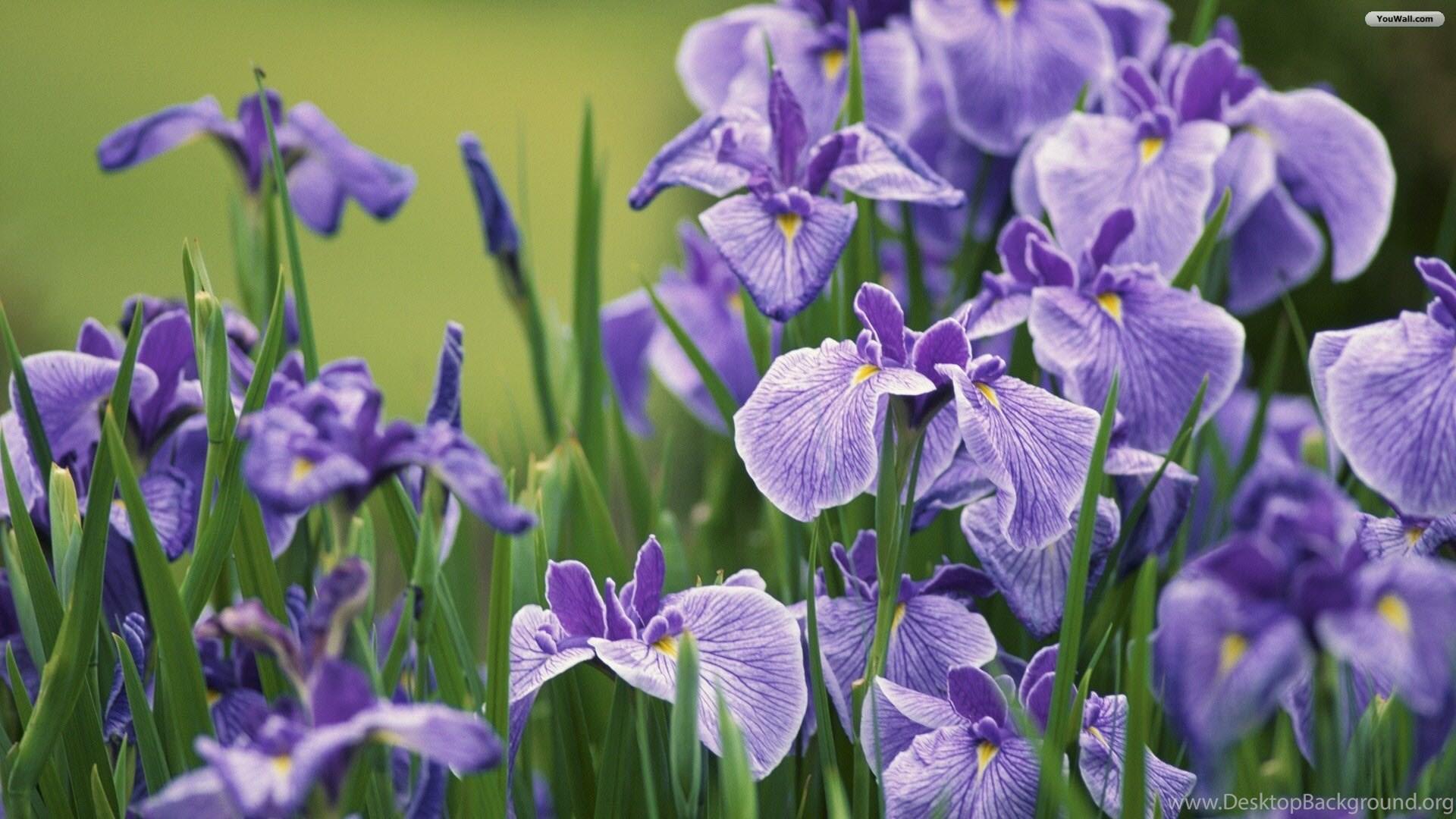 Youwall violet iris flowers wallpapers wallpaperwallpapers popular izmirmasajfo