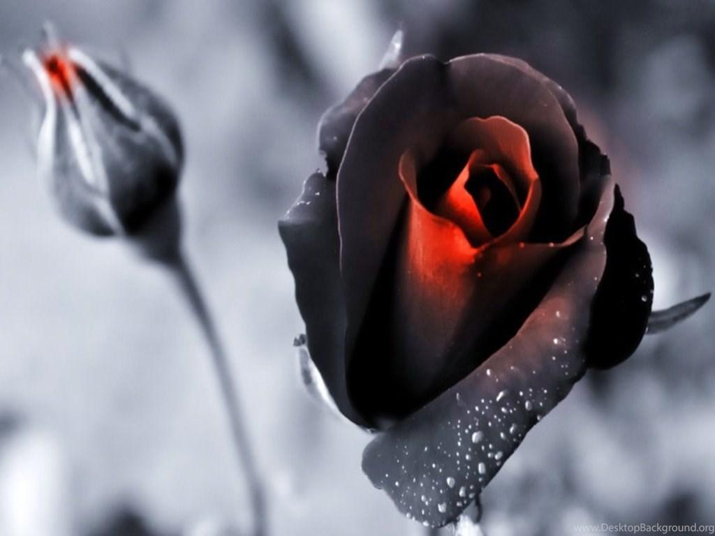 Beautiful Black Rose Hd Wallpapers Jpg Desktop Background