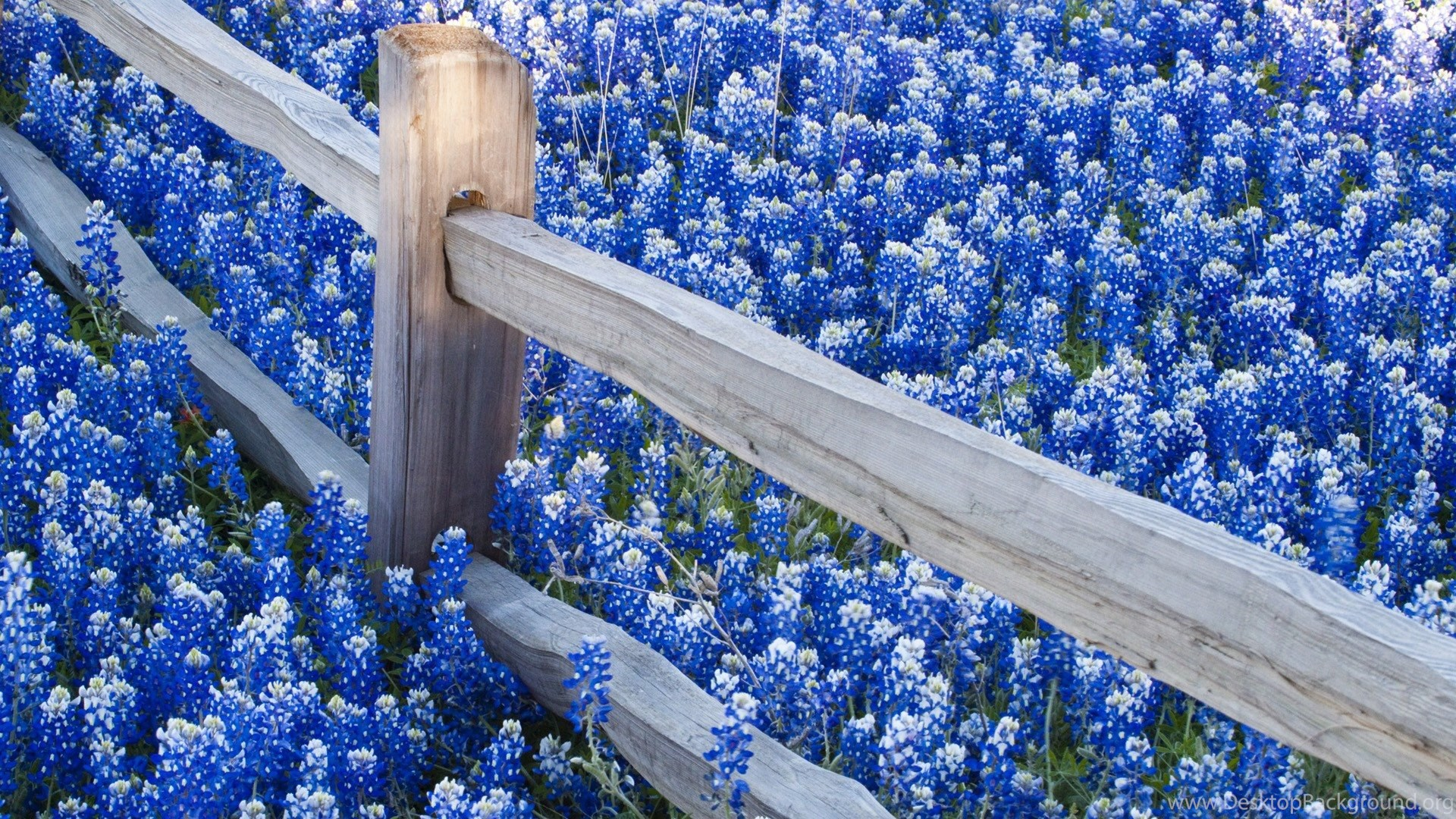 Blue flower hd wallpapers most beautiful flowers pictures popular izmirmasajfo