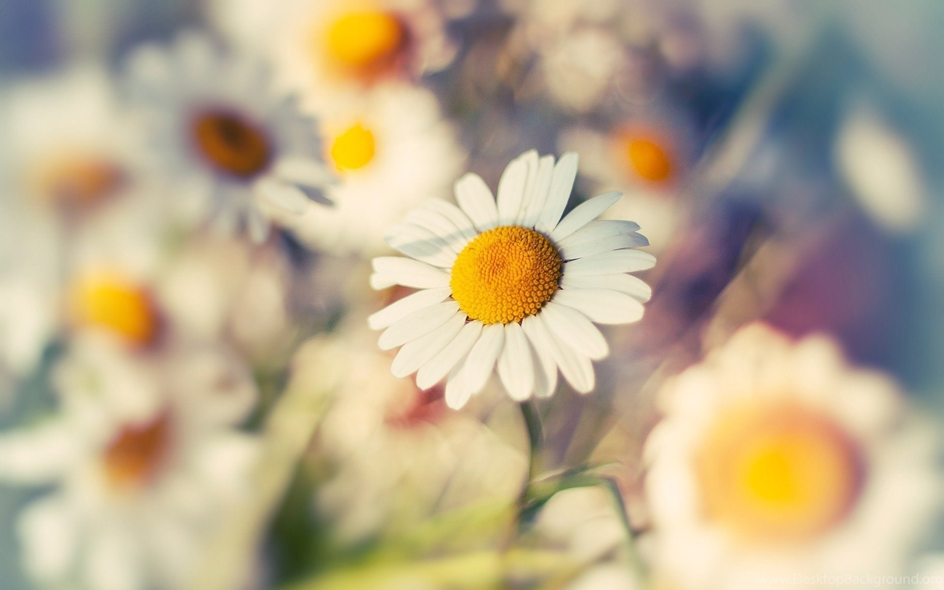 HD Vintage Daisy Flowers Wallpapers For Computer Full Size