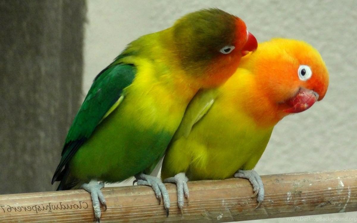 love bird wallpapers hd desktop background