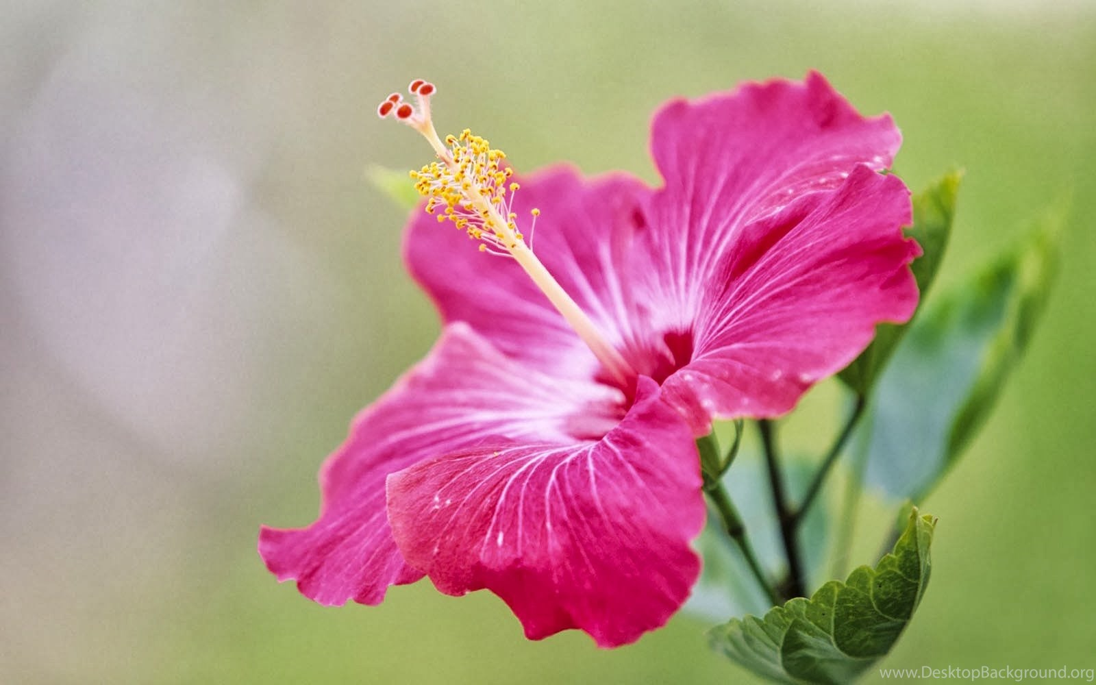 Hibiscus flower meaning and symbolism desktop background original size 126kb izmirmasajfo