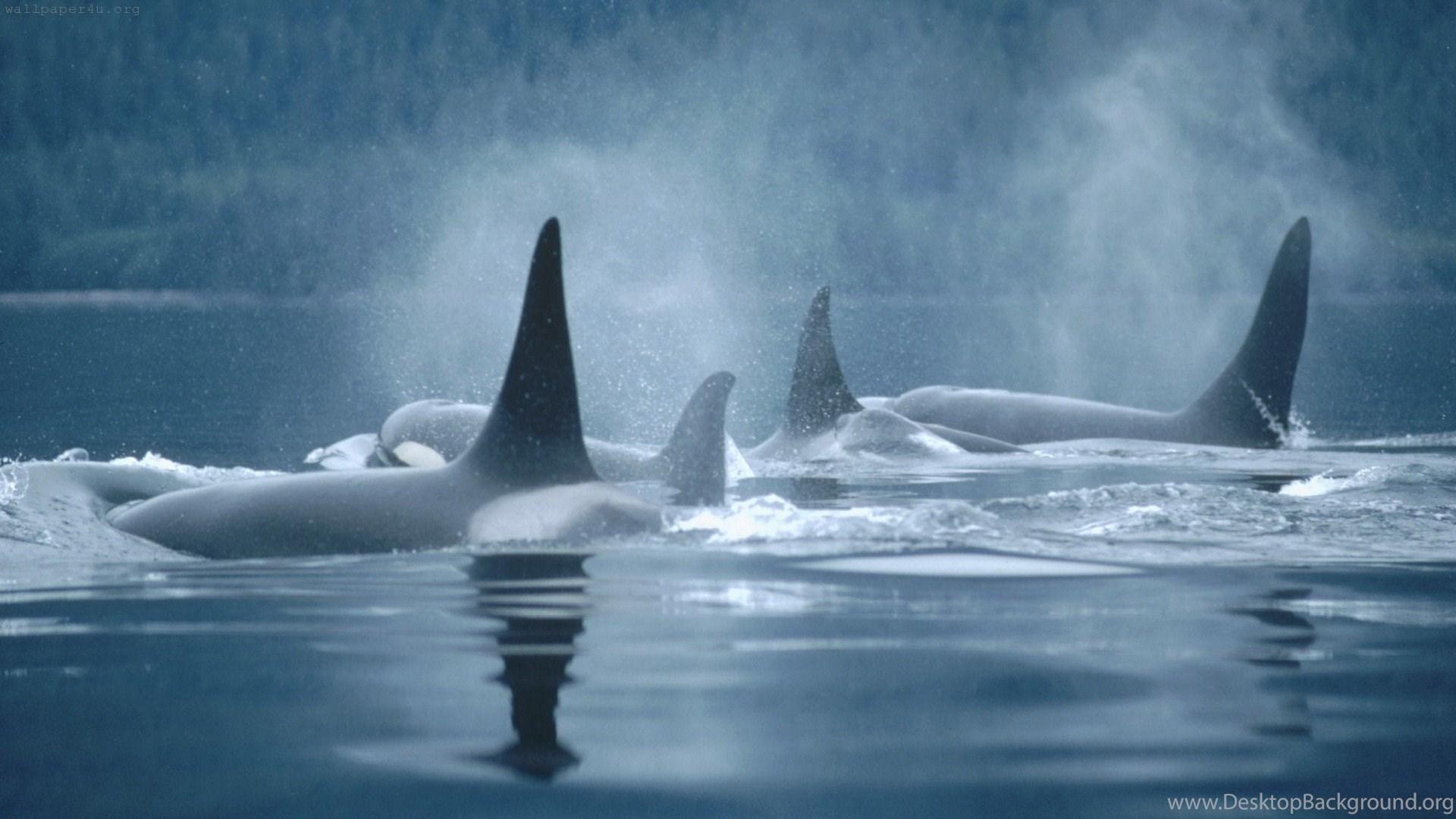 Orca HD Wallpapers Desktop Background