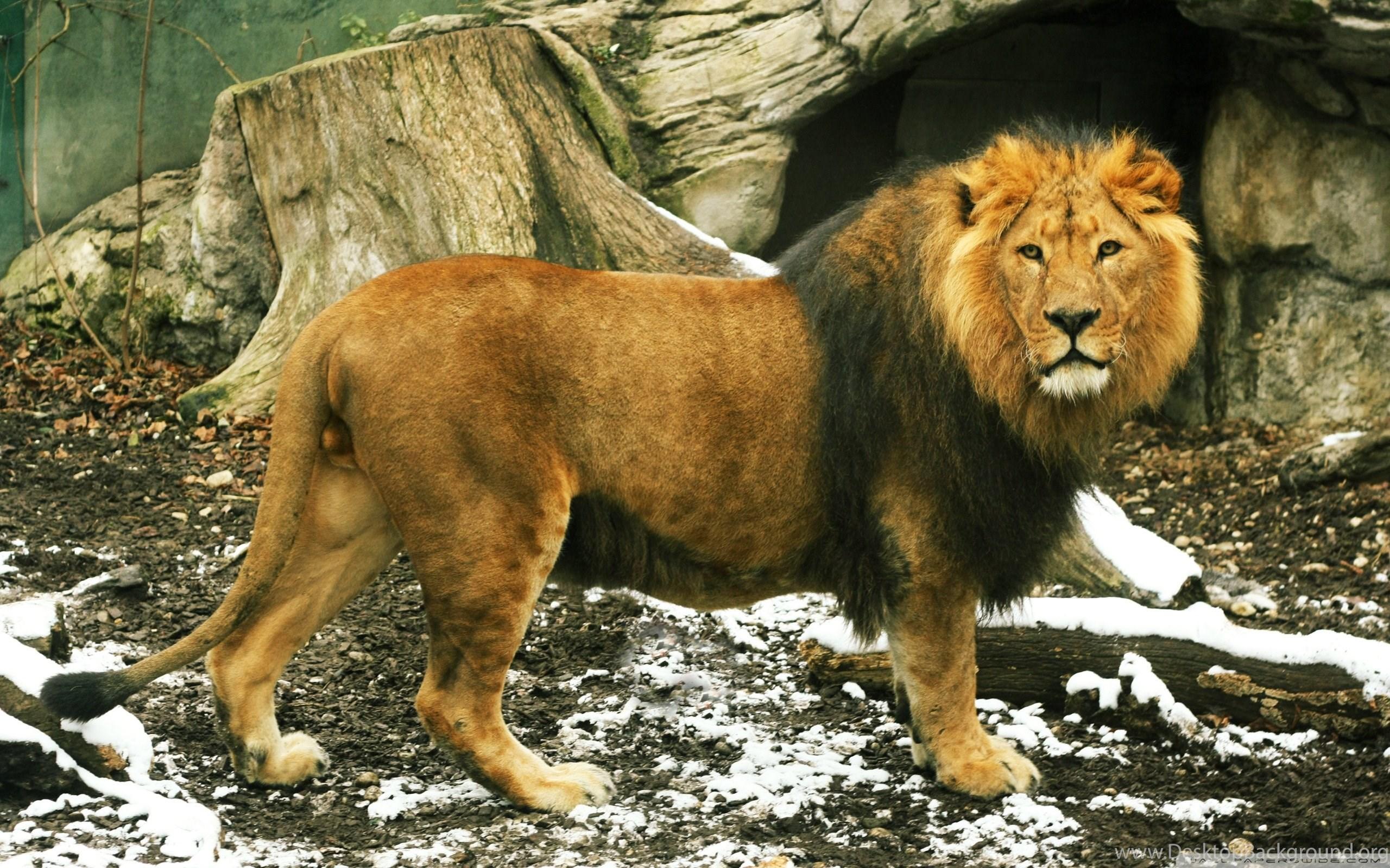 Lion Full Hd Images