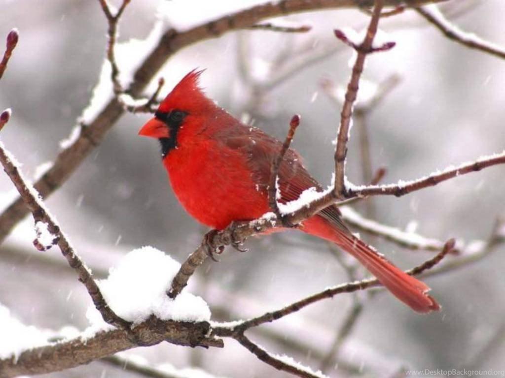 Winter cardinal bird wallpaper backgrounds 3824 hd - Winter cardinal wallpaper ...