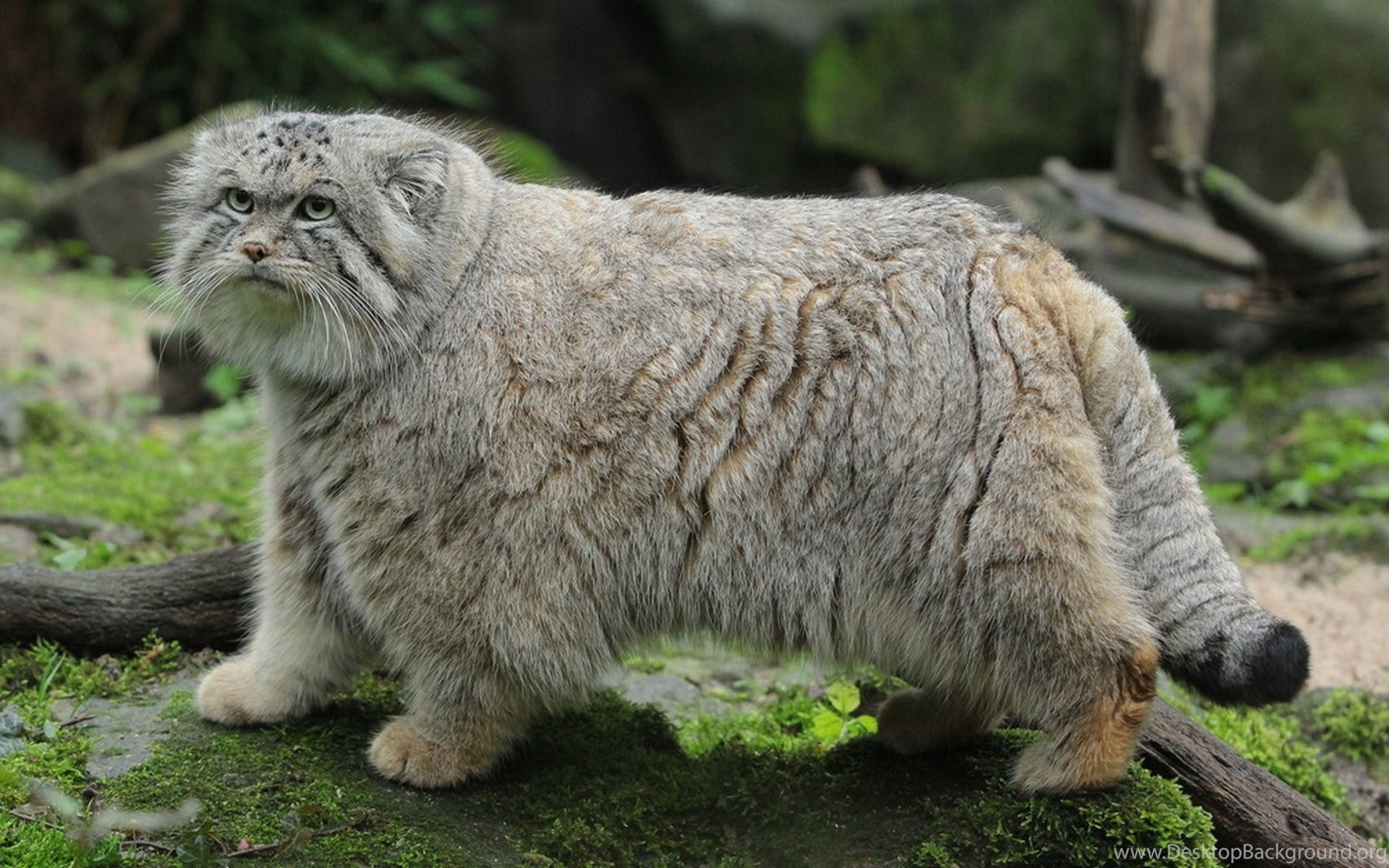 pallas's cat manul wild cat wallpapers desktop background