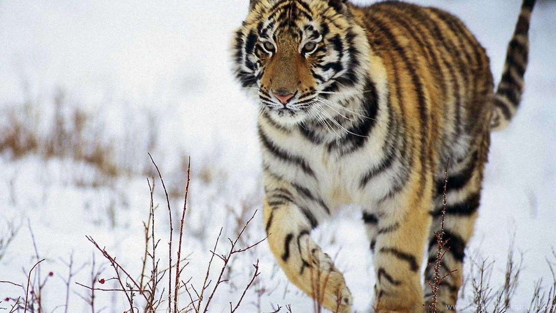 Snow Animals Tigers Animal Tiger HD Wallpapers Wallpapers ...