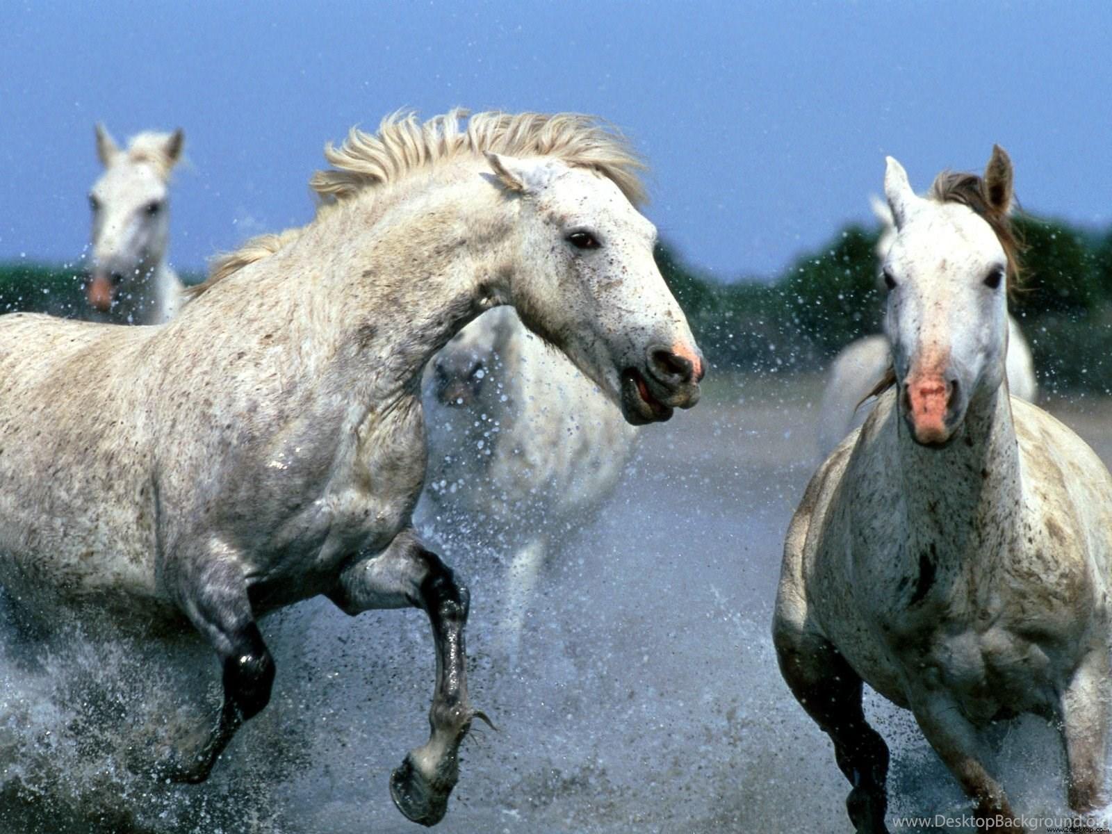 Animals Zoo Park 9 White Running Horse Wallpapers White Horses Desktop Background