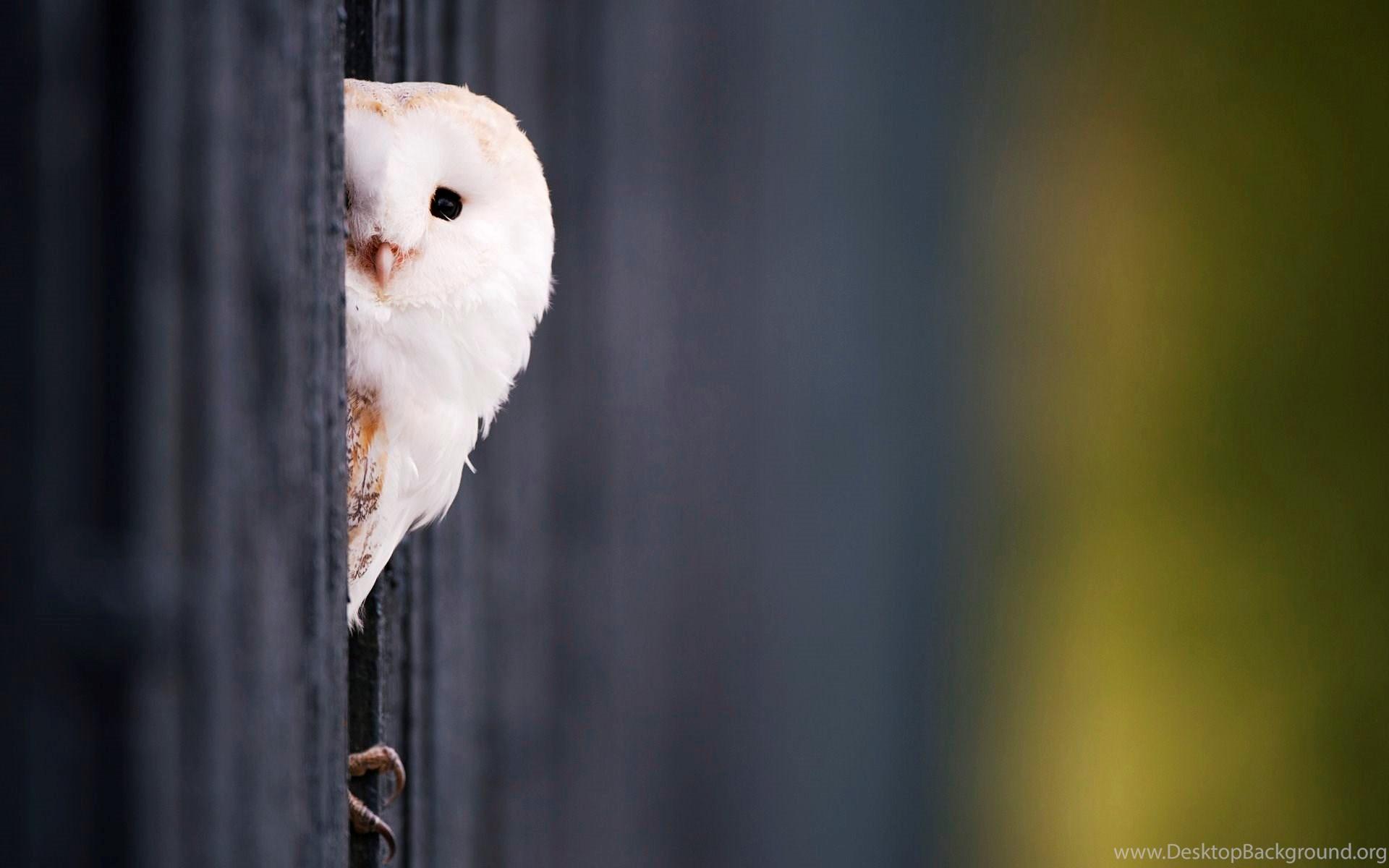Cute White Owl Wallpapers Desktop Background