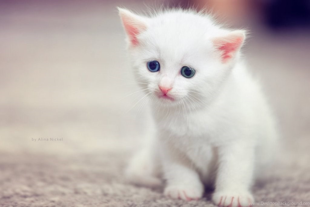 Awesome Cute Cat Hd Wallpapers Cute White Cat Wallpapers Hd Cute Desktop Background