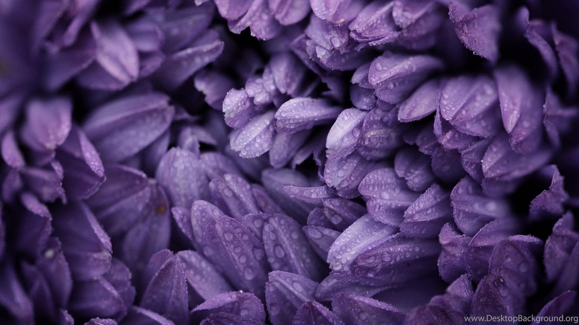Nature Flowers Violet Purple Flower Petals Wallpapers Desktop Background
