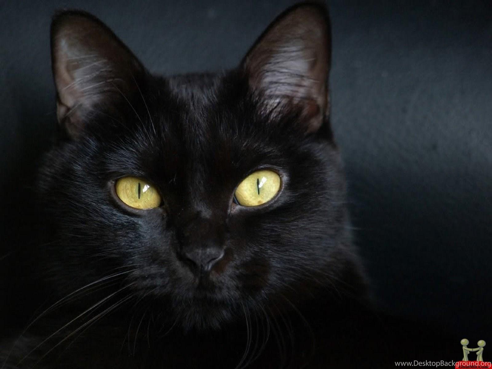Beautiful Pure Black Cat Hd Wallpapers E Entertainment Black Cats