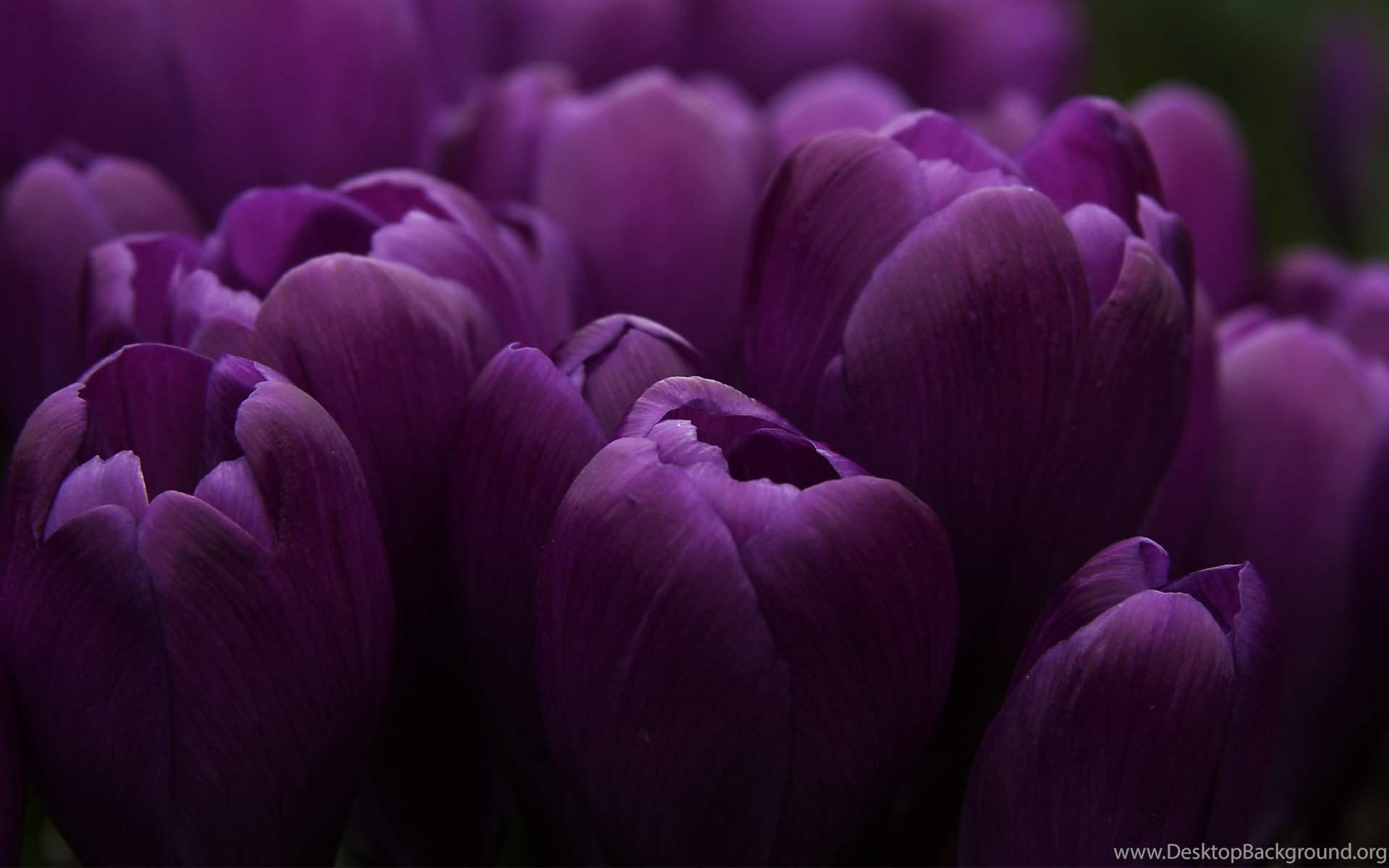 Dark purple flowers white backgrounds desktop background widescreen mightylinksfo