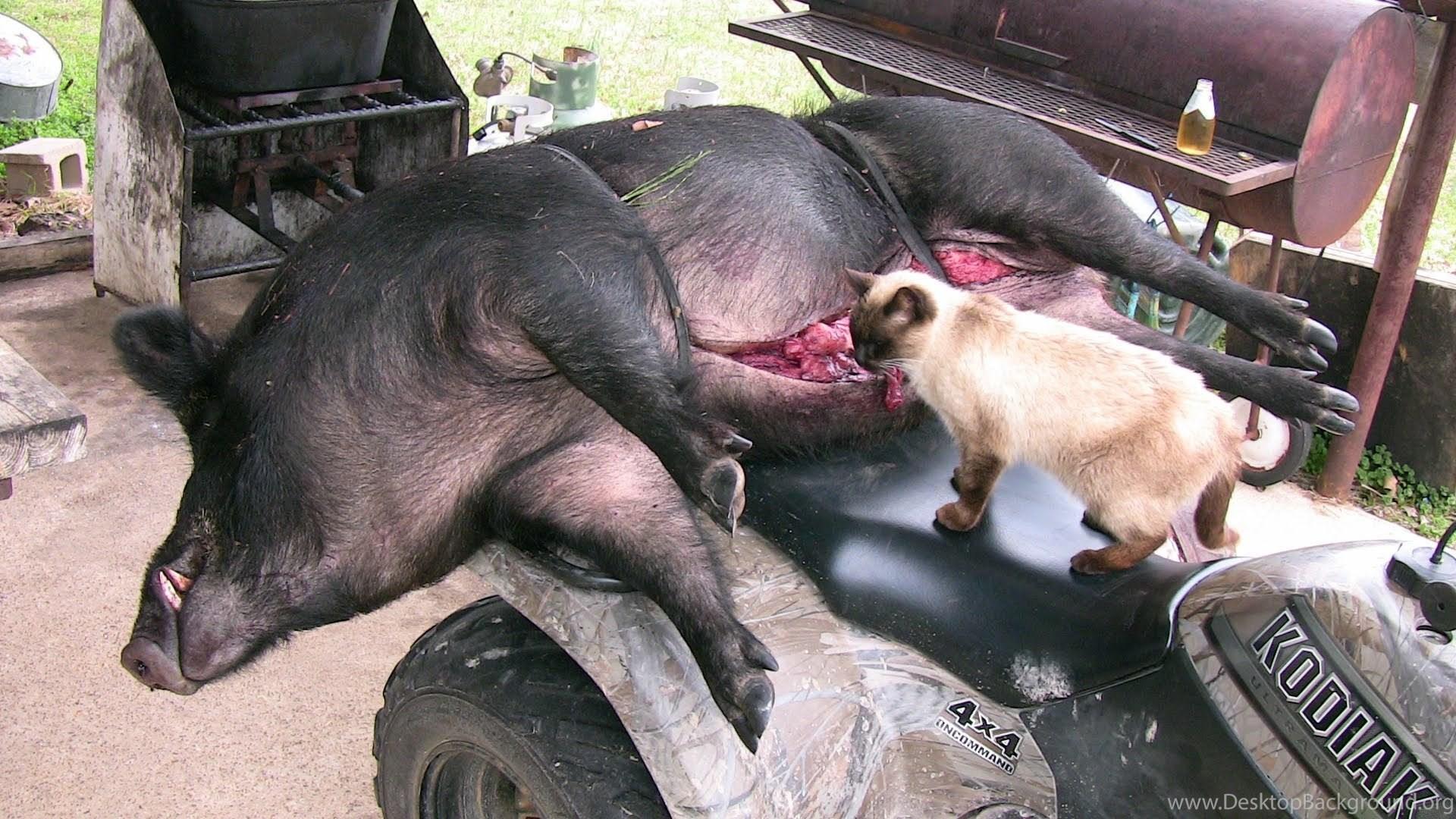 Big Boar Headshot! Wild Hog Hunting Wild Boar Hunting