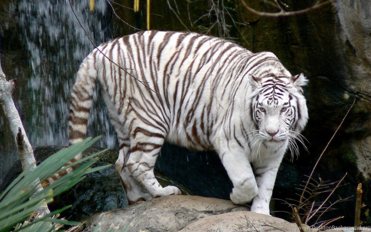 White Tiger Wallpapers 3d Wallpaper White Tiger Wallpapers 3d Hd