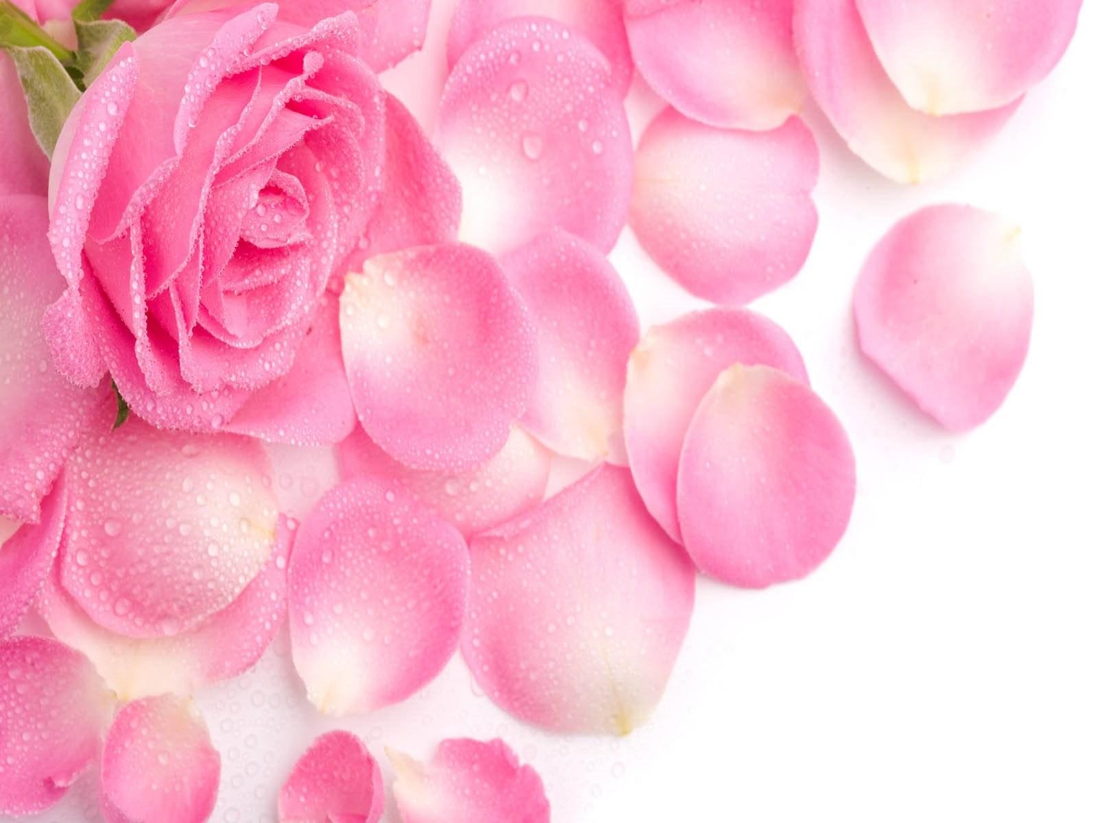 9 rose flower hd wallpapers beautiful pink flowers free desktop original size 1579kb mightylinksfo