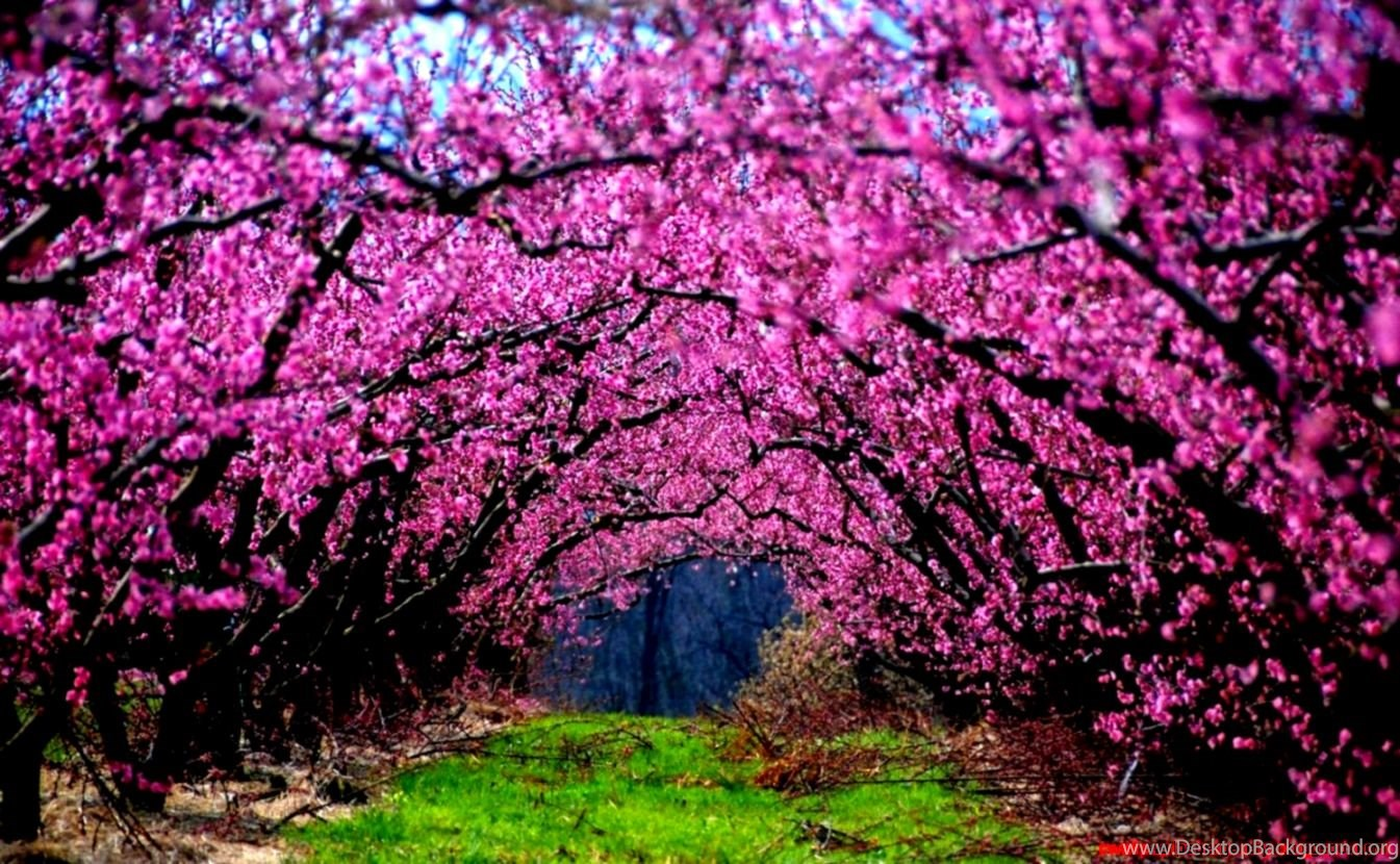 Nature Pink Trees Flowers Grass Fields Photography Wallpapers