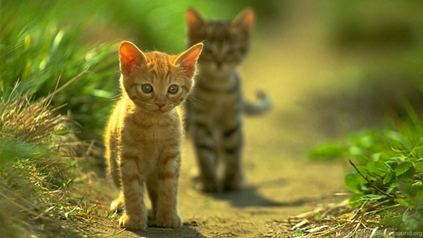 cat walk cute cats wallpapers for desktop free download for mobile