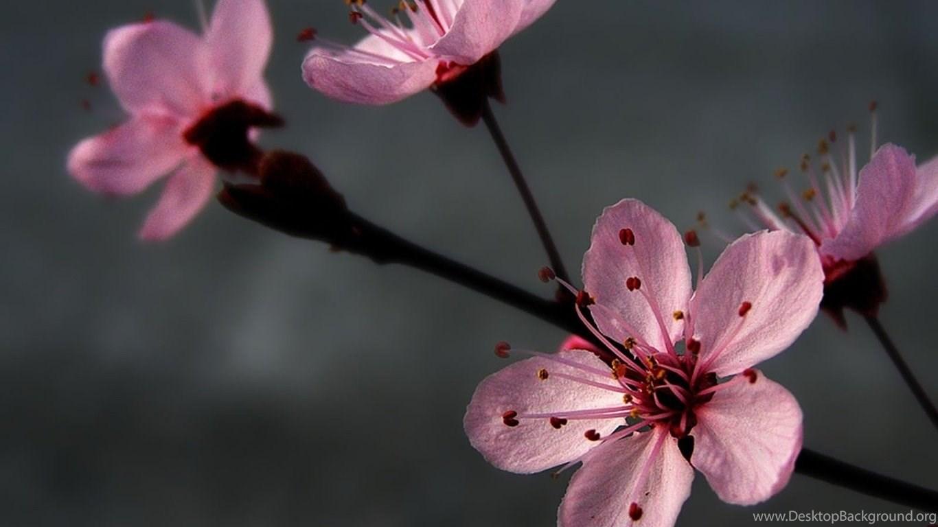 1366x768 grey pink flowers wallpapers and pictures 29570 desktop popular mightylinksfo