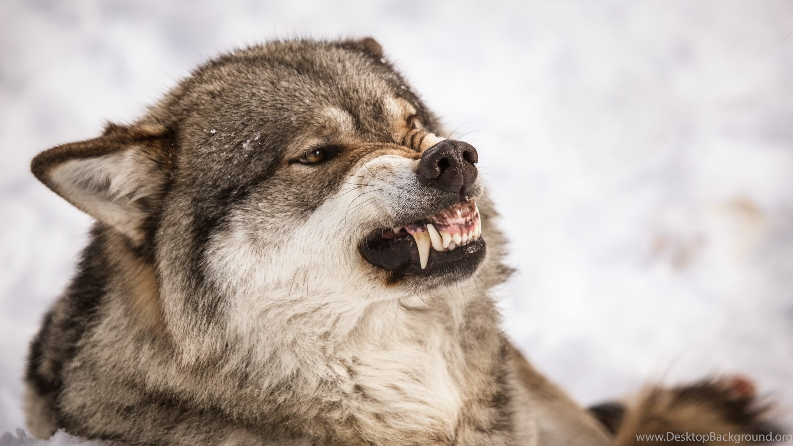 Angry Wolf Wallpapers HD For Desktop Of ...