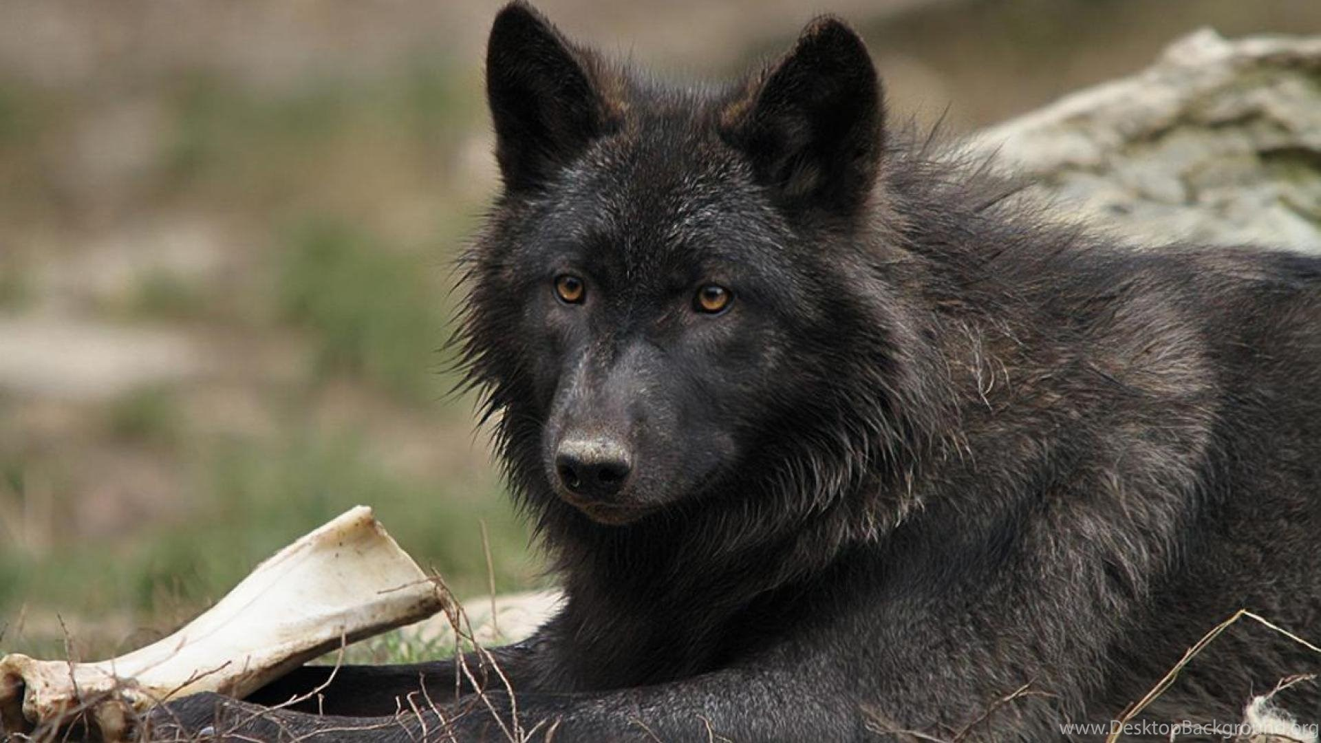 hd black wolf wallpapers desktop background