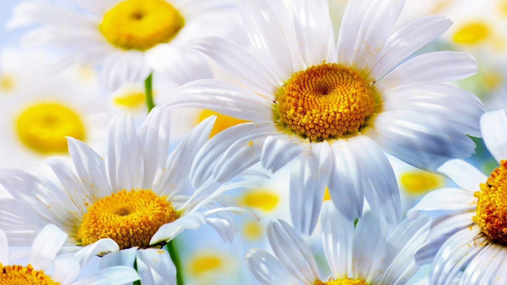 Dcab13 Color Wallpapers White Daisy Flower Nature Wallpapers