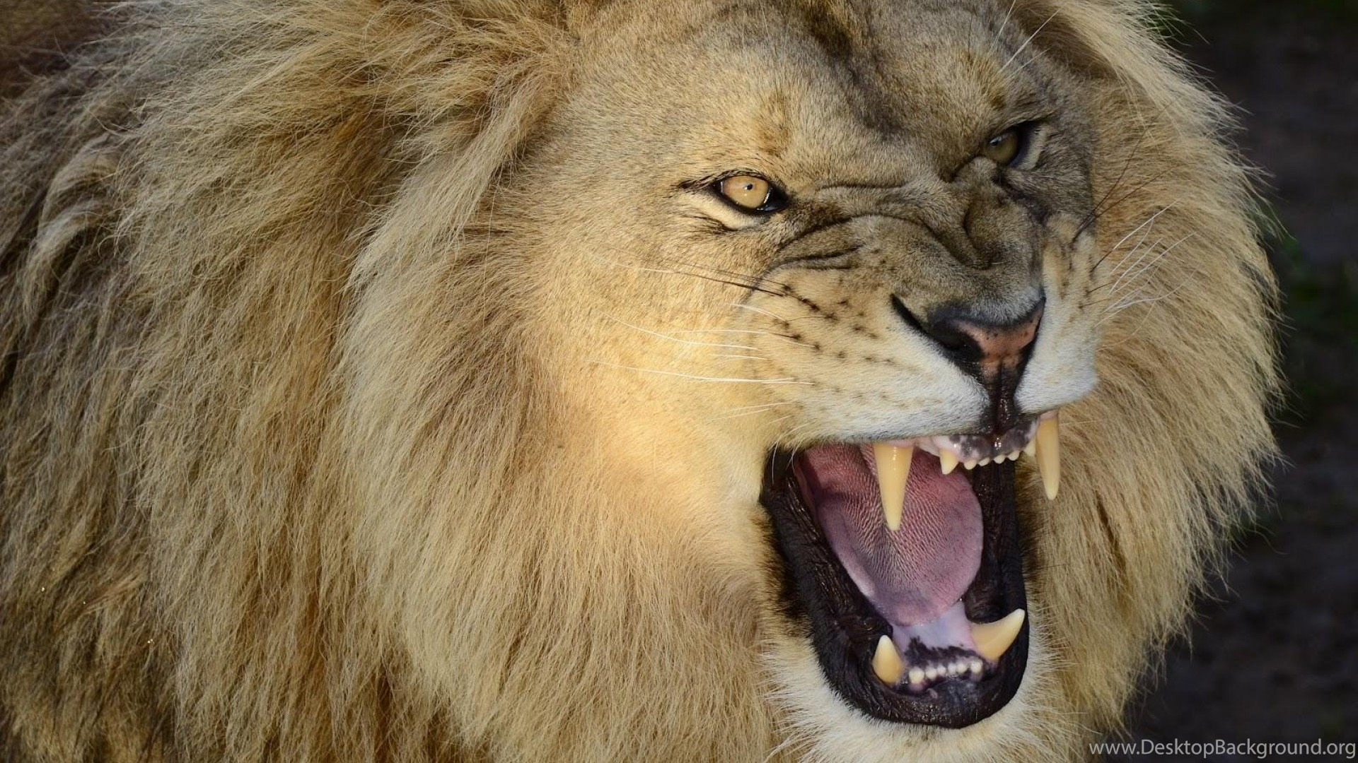 Pictures Of A Roaring Lion Wallpapers Desktop Background