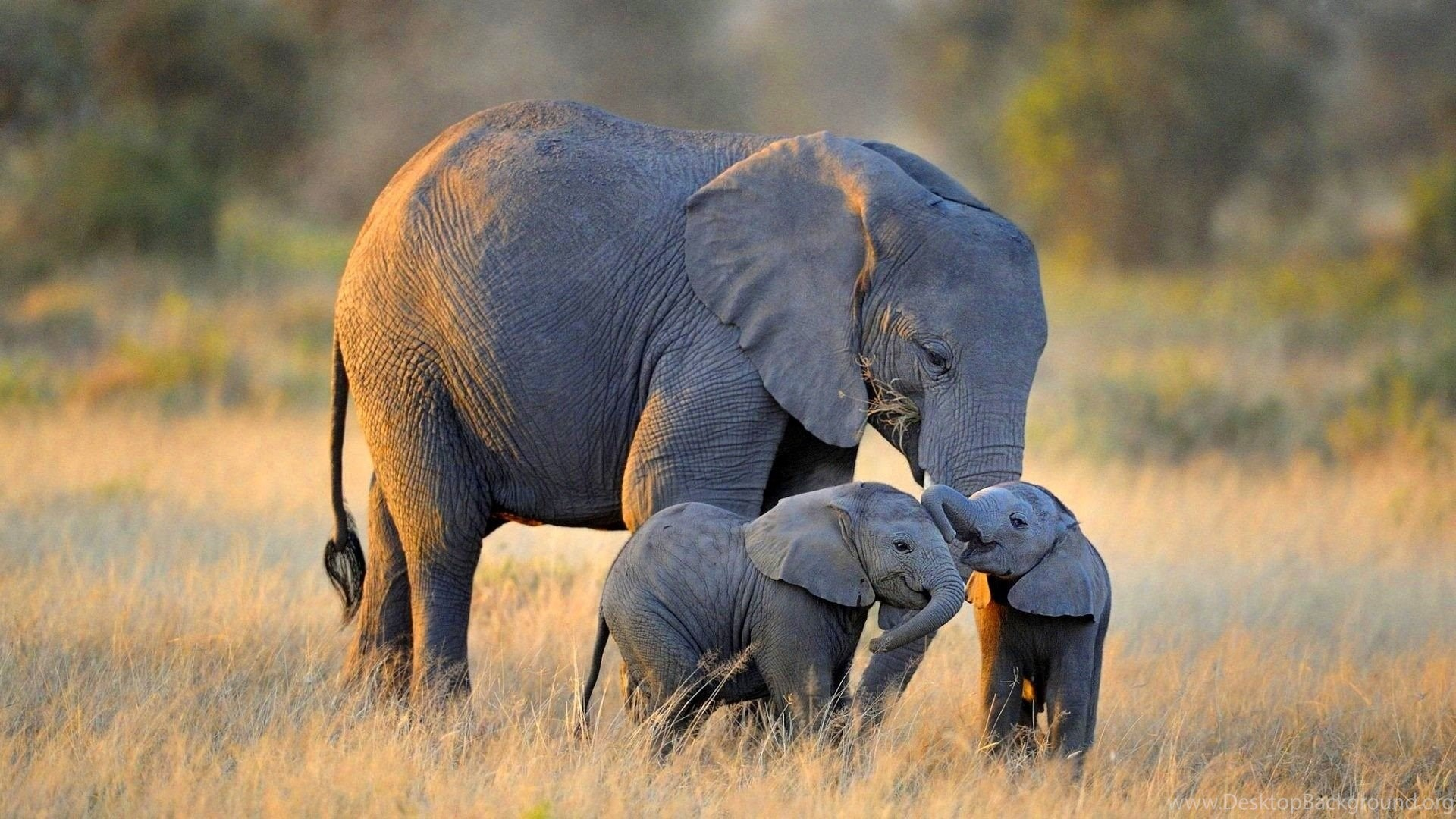 African elephant baby wallpaper