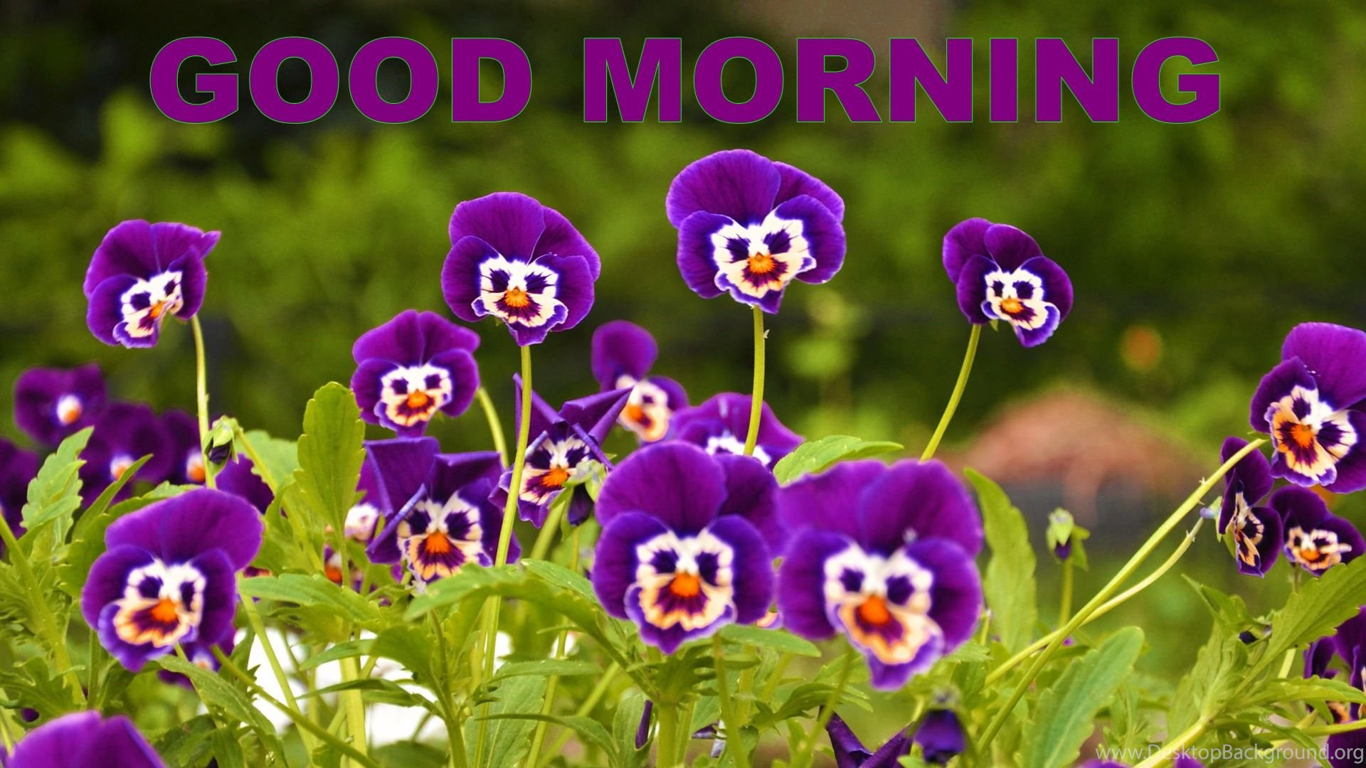 Good Morning Pansy Flower HD Wallpapers Desktop Background