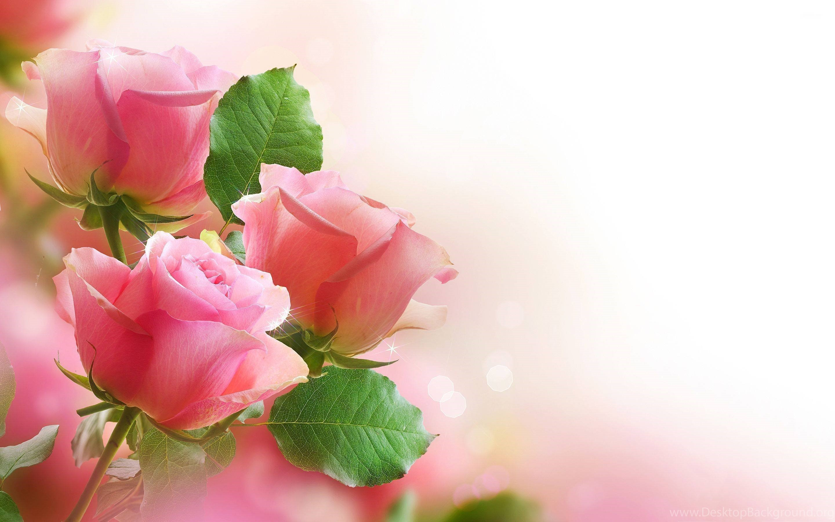 Hd Pink Rose Flowers Wallpapers Hd Hirewallpapers 528 Desktop Background