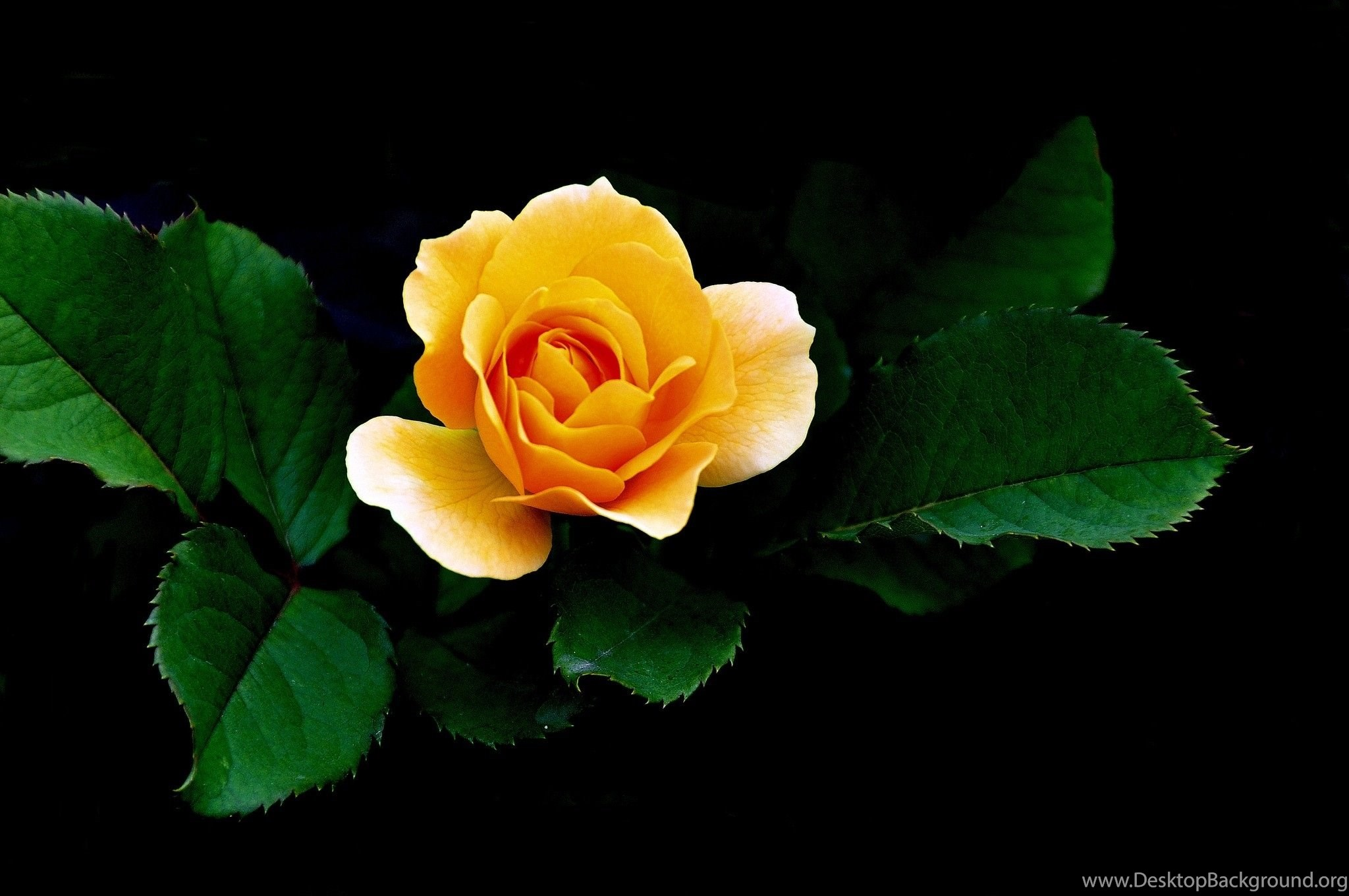 Yellow Rose Wallpapers High Quality Desktop Background