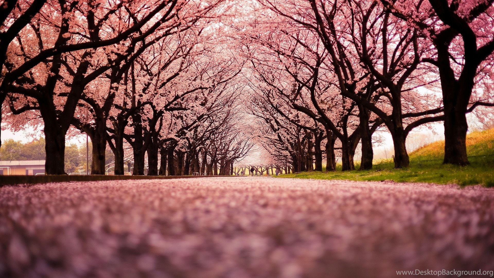 Landscape, Cherry Blossom, Trees, Path, Nature Wallpapers
