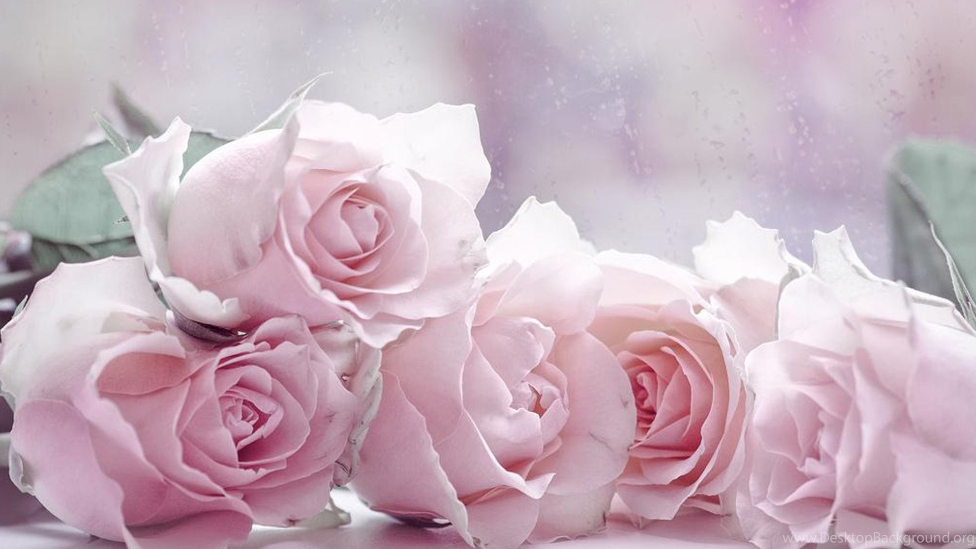 Wall Paper Wide Pink Rose Colours Soft Nature Flower: The Four Pastel Roses Wallpapers, Rose Flower Images, Rose