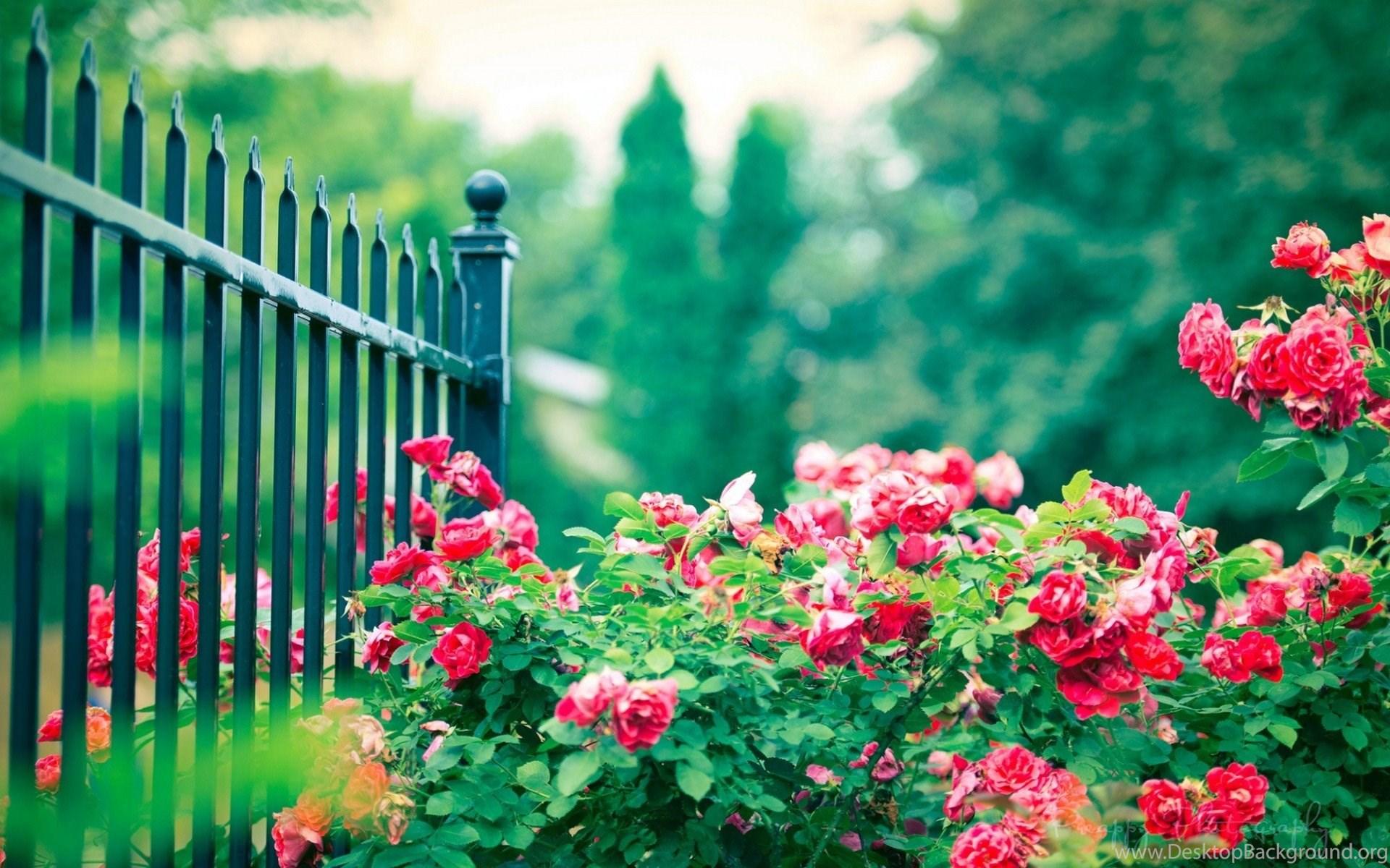 Gardens Wallpaper Beautiful Spain Roses In Garden Hd Wallpapers