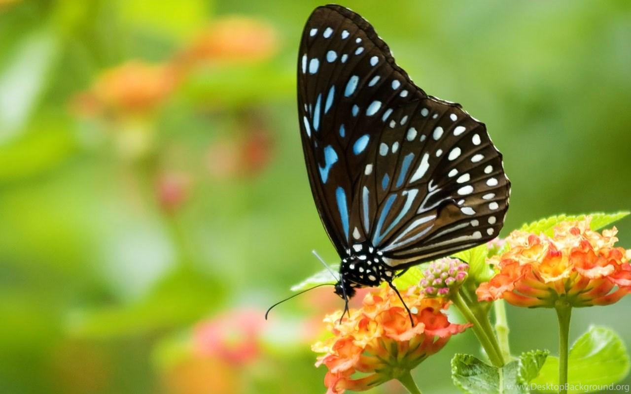 Butterflies Amazing Full Screen HD Wallpapers Desktop